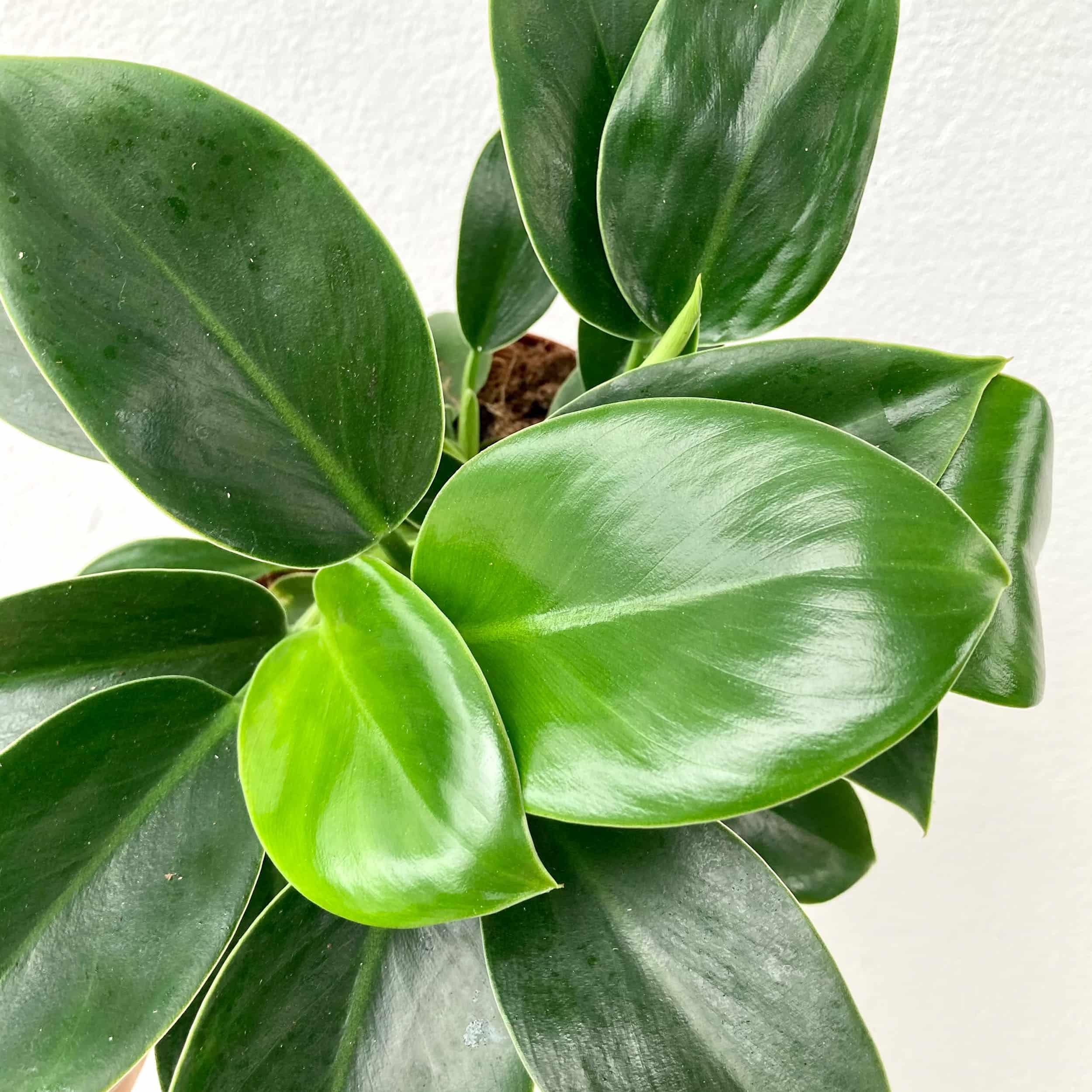 Philodendron 'Green Princess' - Baumfreund