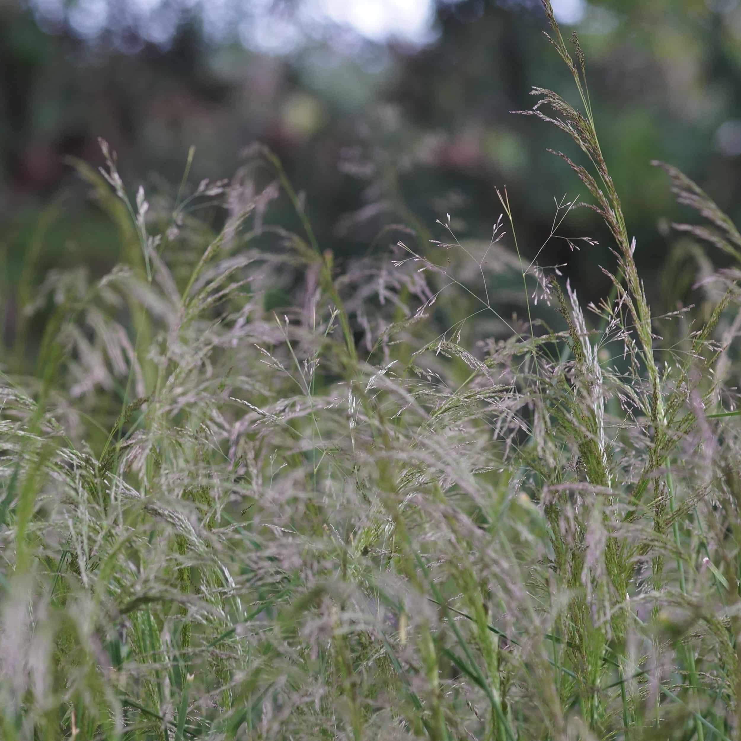 Deschampsia cespitosa 'Bronzeschleier' - Waldschmiele