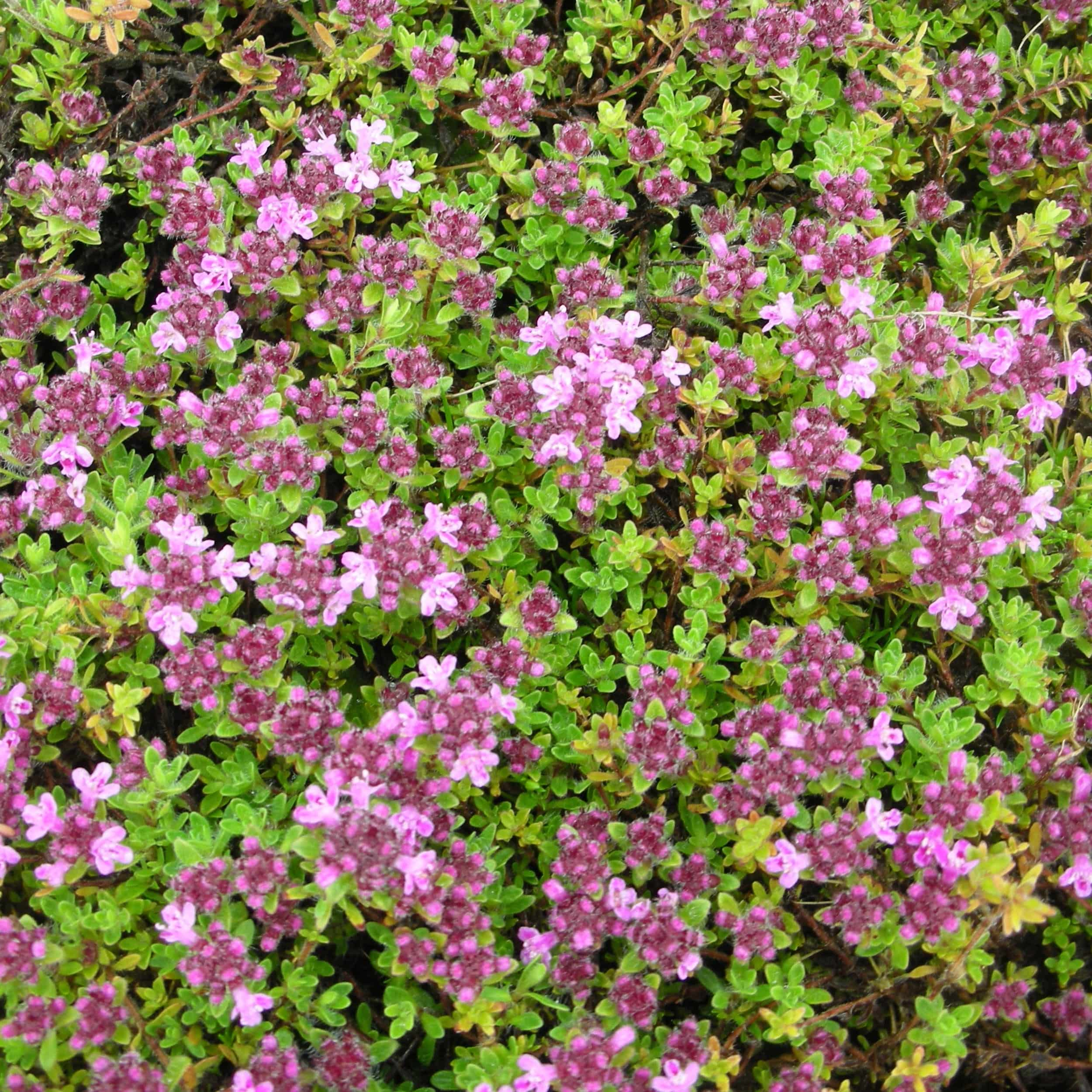 Thymus doerfleri 'Bressingham Seedling' - Bressingham-Thymian