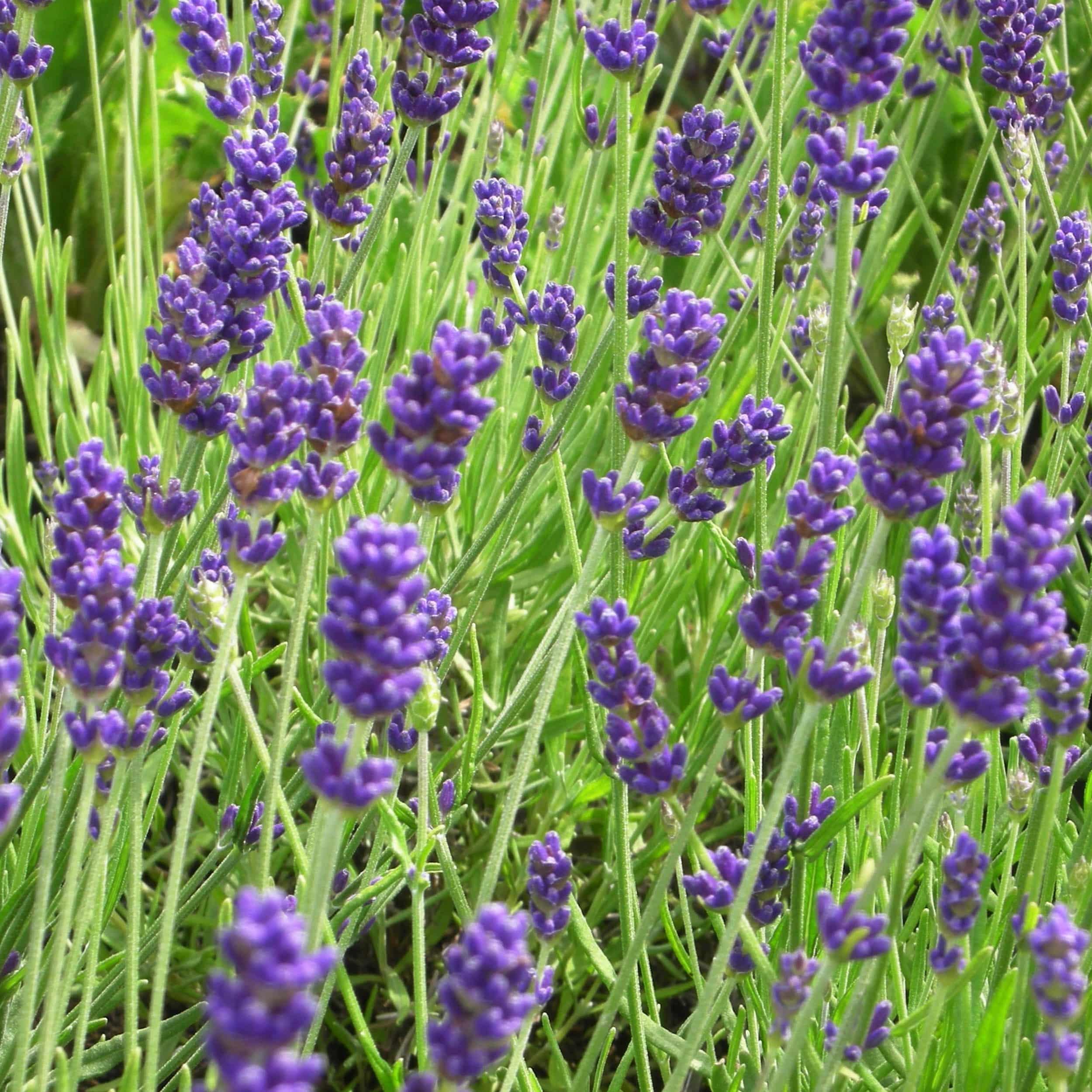 Lavandula angustifolia 'Hidcote Blue' - Garten-Lavendel
