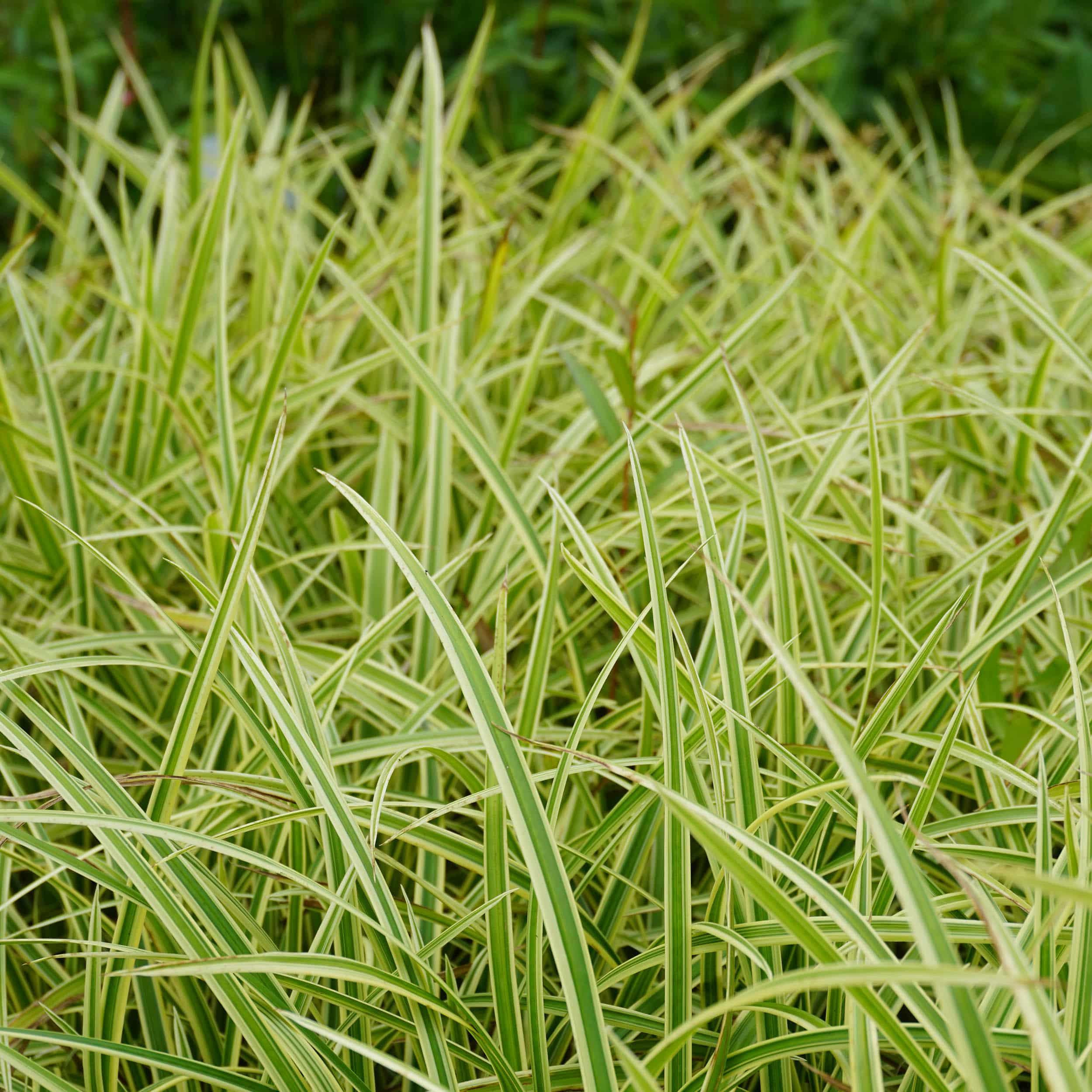 Carex foliosissima 'Ice Dance' - Weißbunte Segge