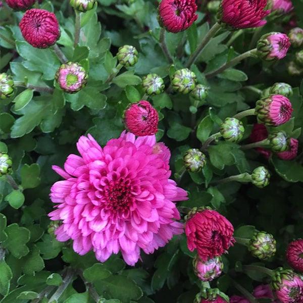 blumixx-magazin-chrysantheme-lila