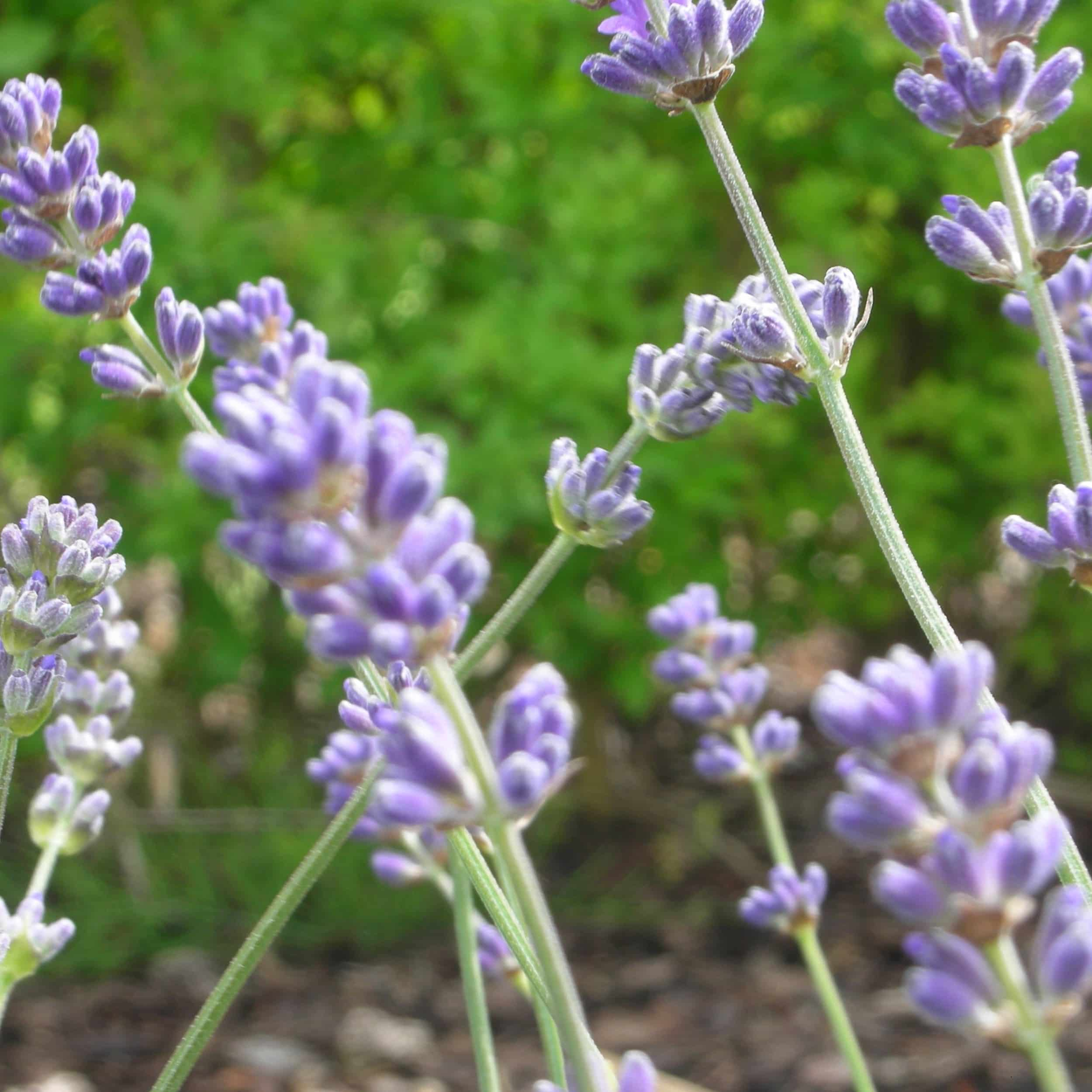 Lavandula angustifolia 'Munstead' - Garten-Lavendel