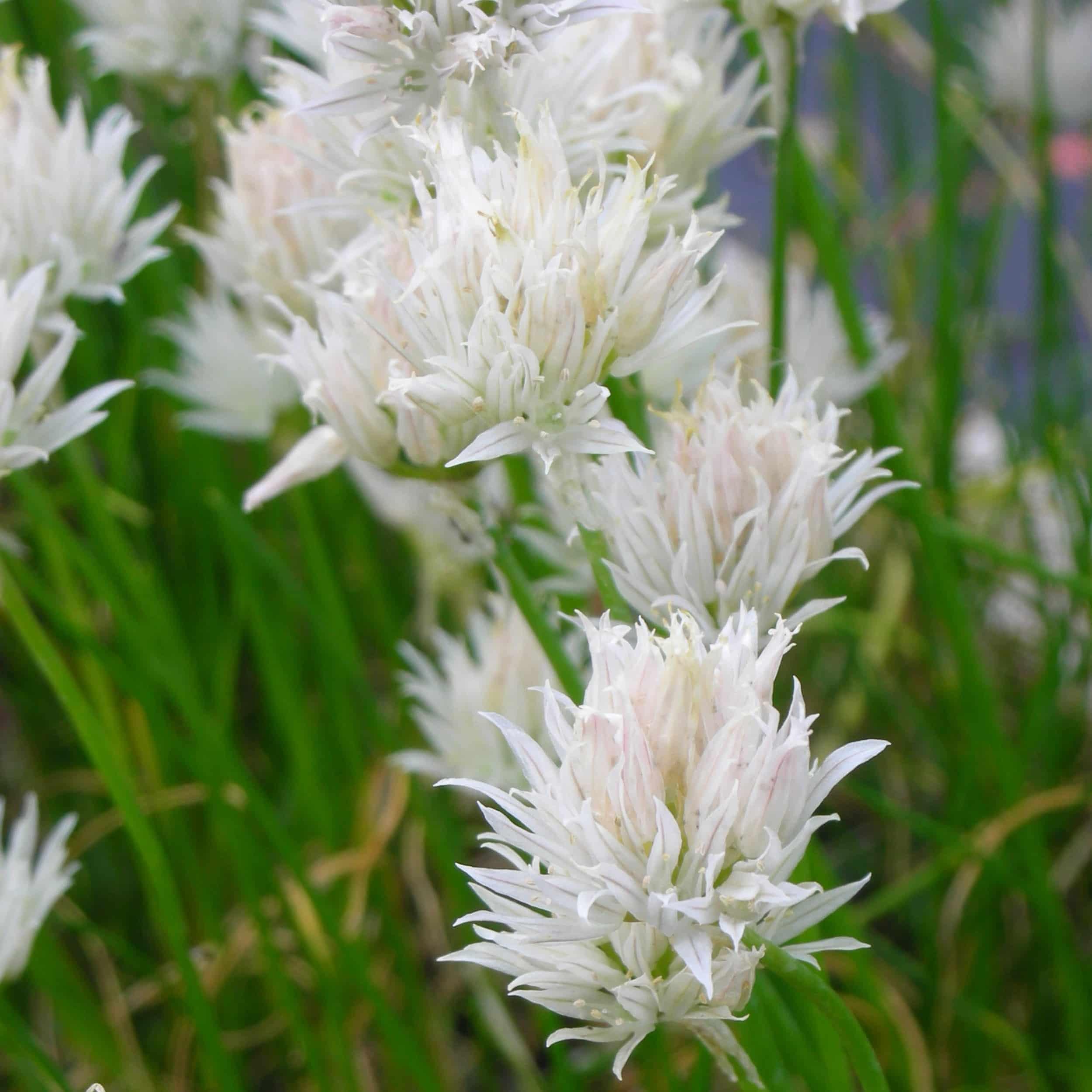 Allium schoenoprasum 'Corsican White' - Weißer Schnittlauch