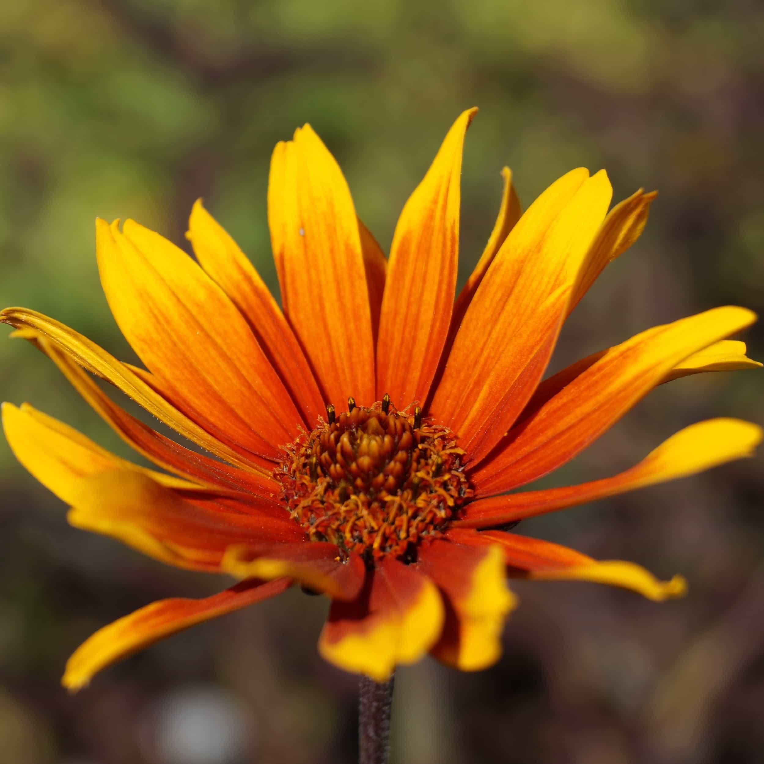 Heliopsis scabra 'Burning Hearts' - Sonnenauge