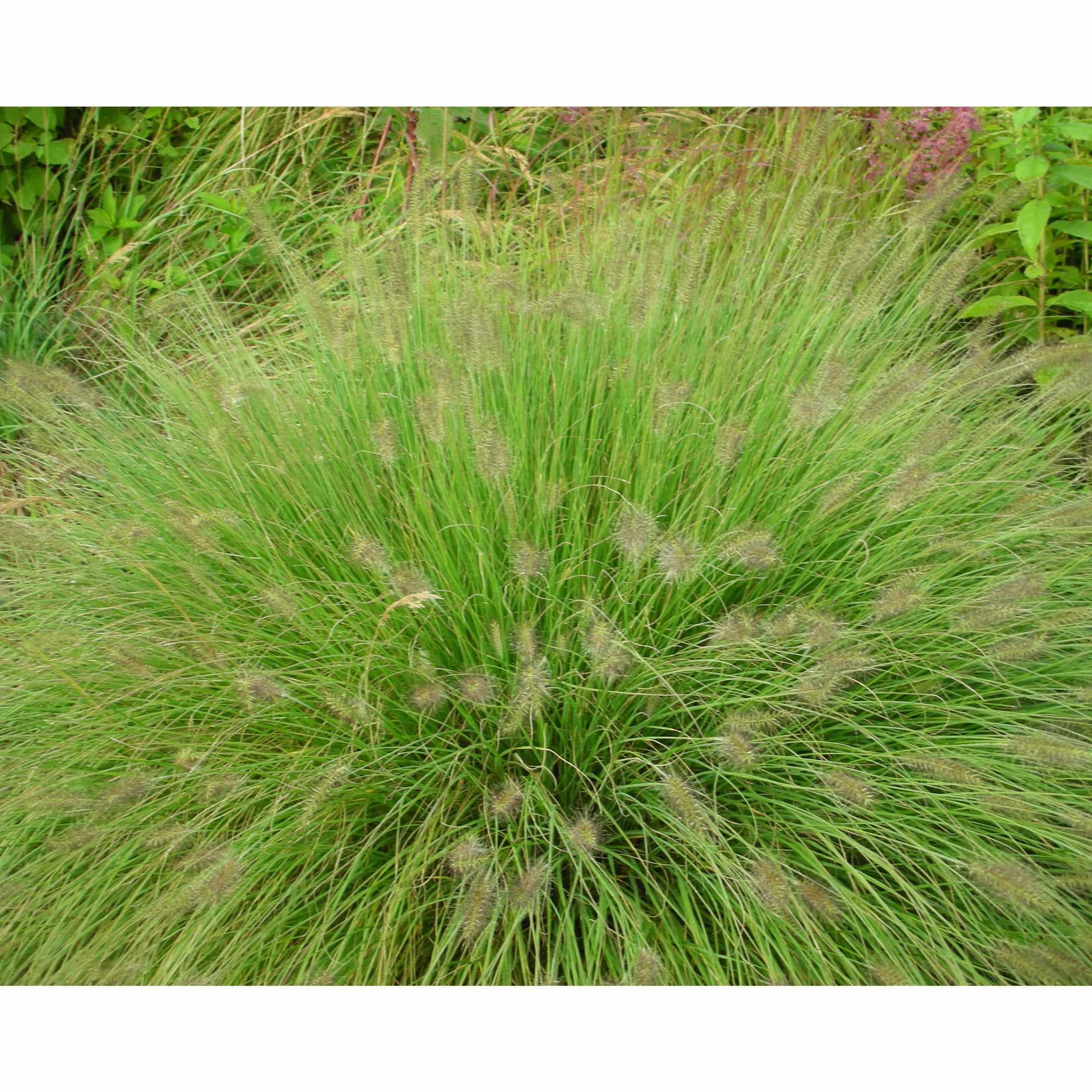 Pennisetum alopecuroides 'Hameln' - Lampenputzergras