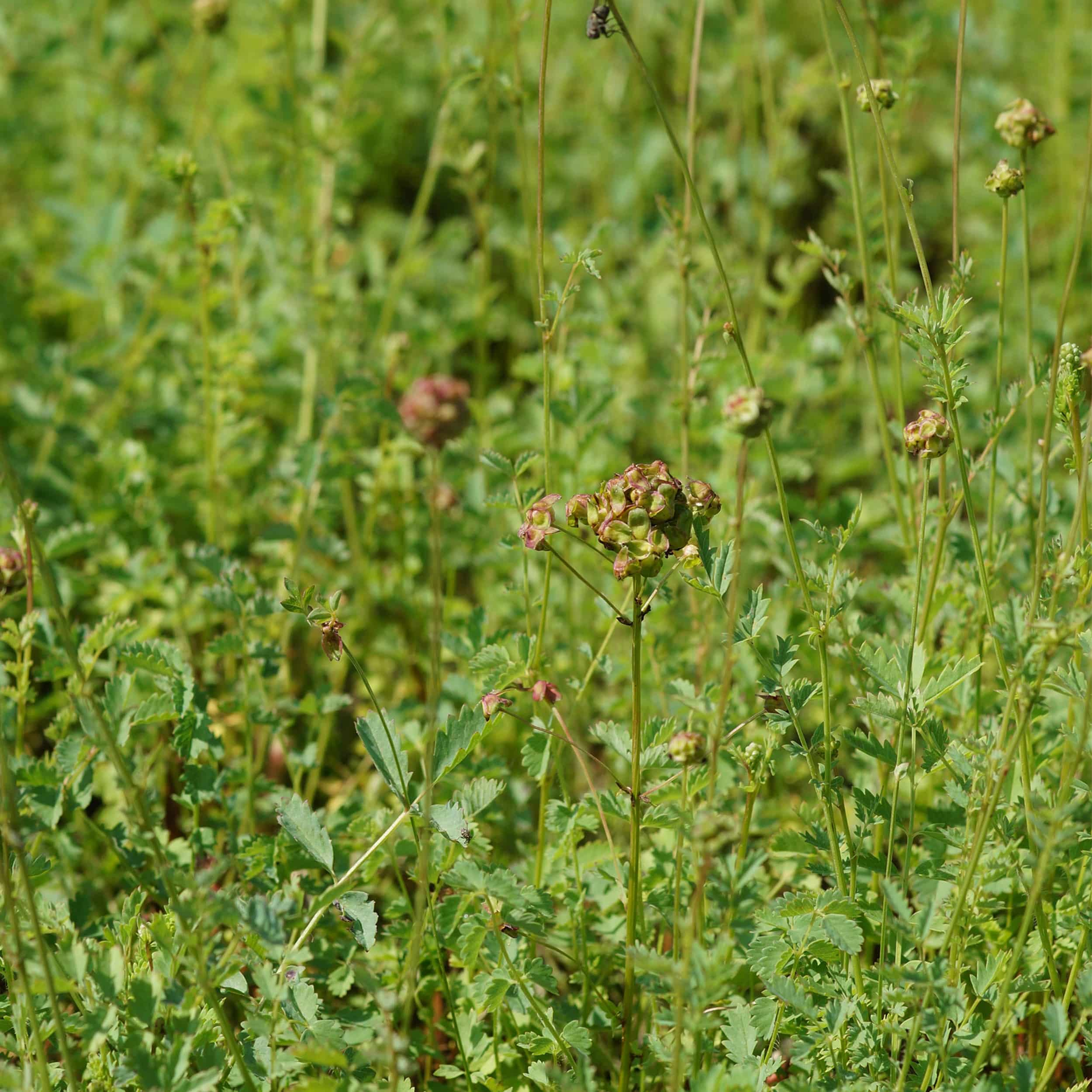 Sanguisorba minor - Kleiner Wiesenknopf
