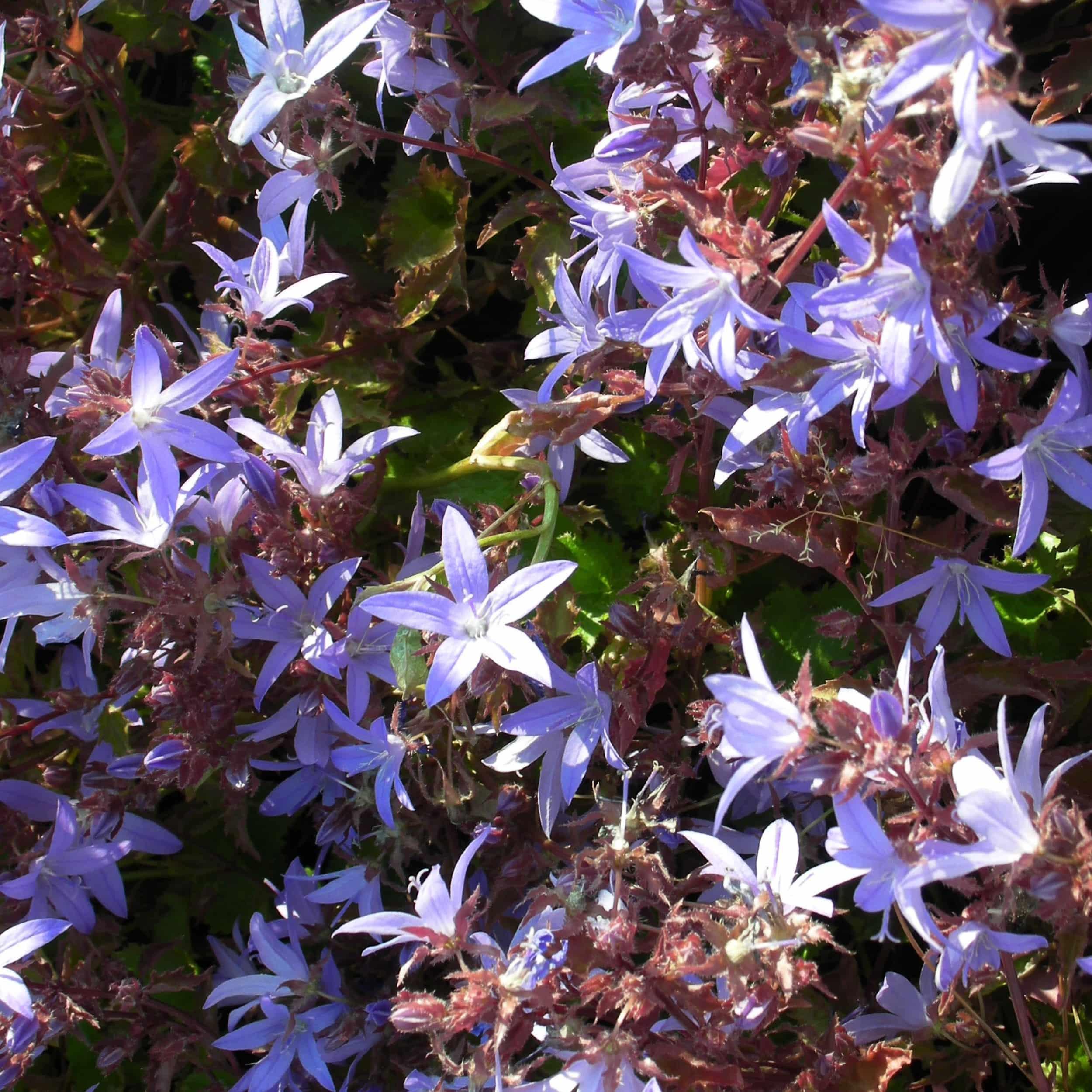 Campanula poscharskyana 'Blauranke' - Hängepolsterglockenblume