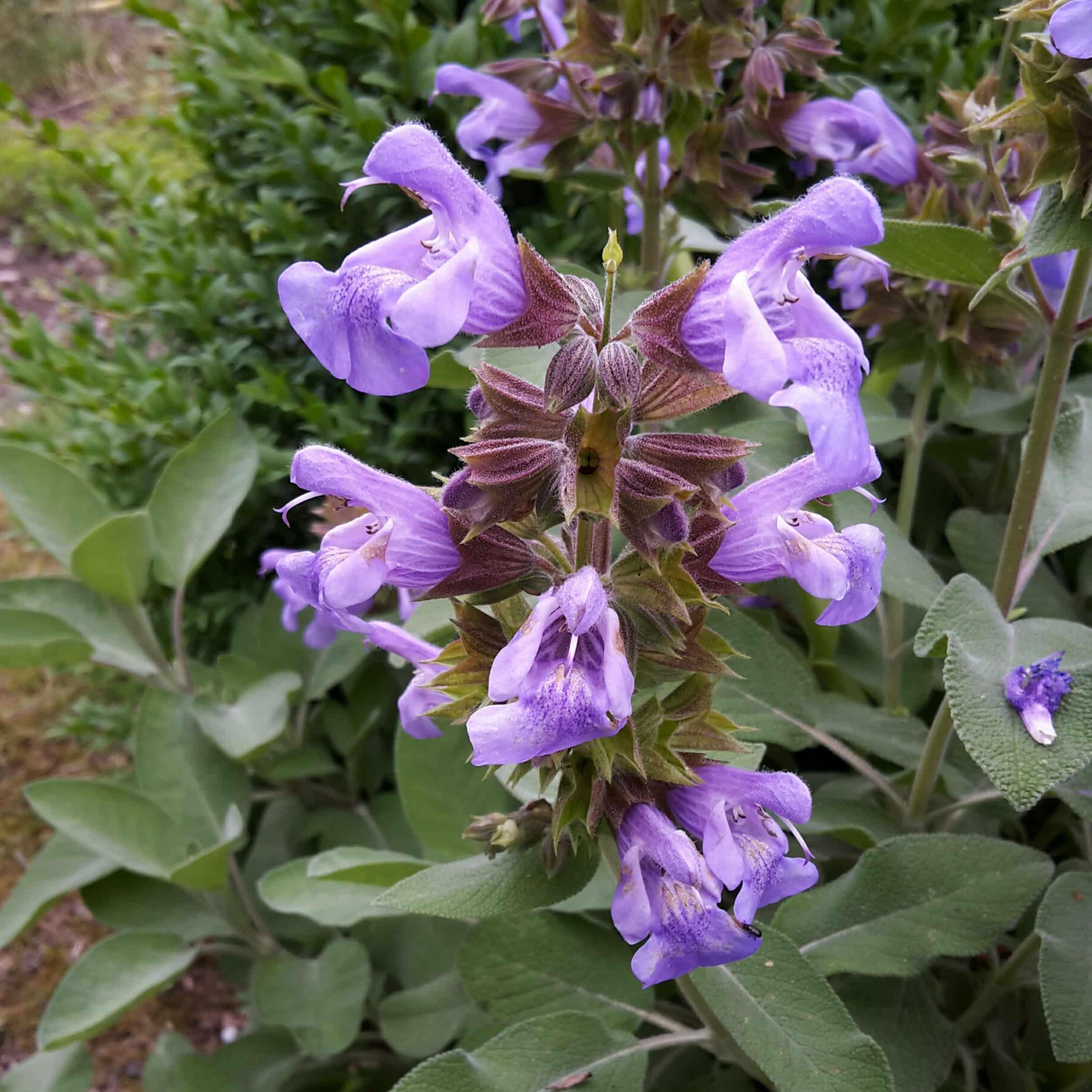 Salvia officinalis 'Berggarten' - Breitblättriger Gewürz-Salbei