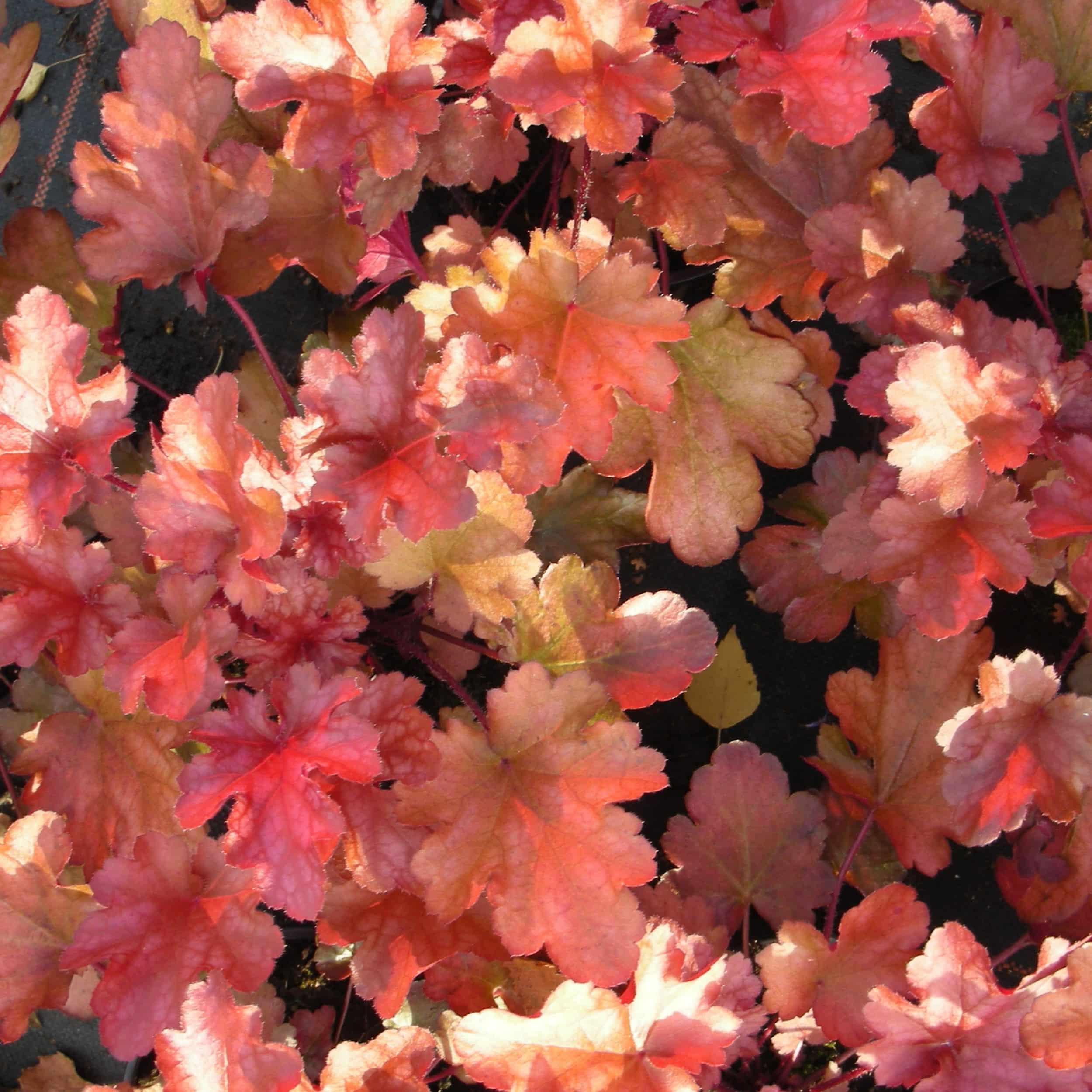 Heuchera Hybride 'Peach Flambe' ® - Purpurglöckchen