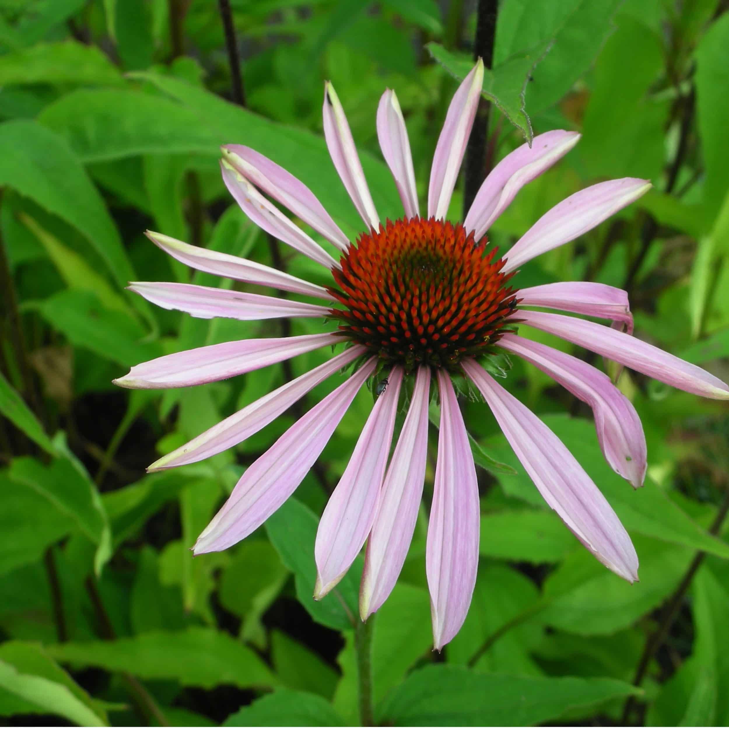 Echinacea purpurea  - Sonnenhut