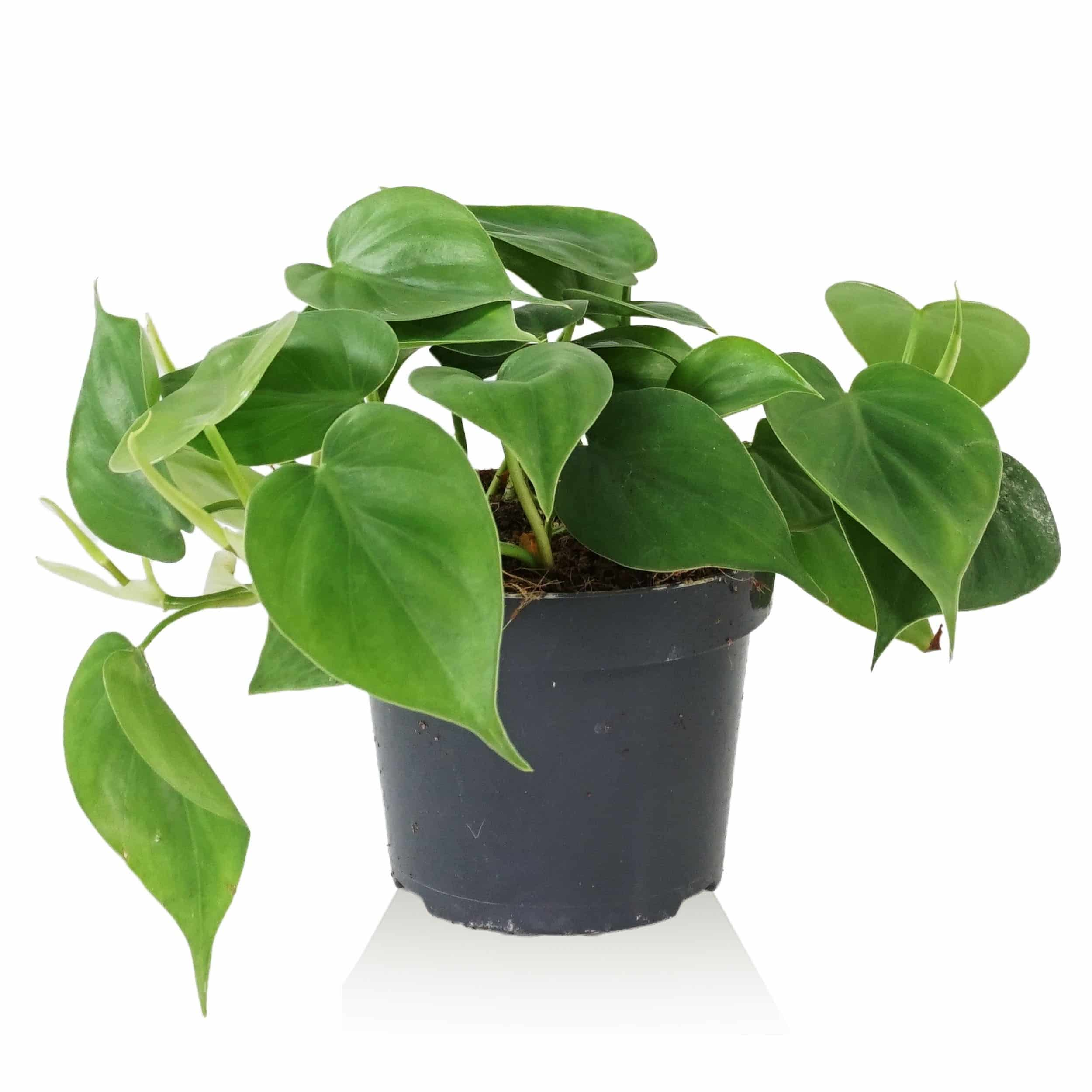 Philodendron scandens - Kletterphilodendron