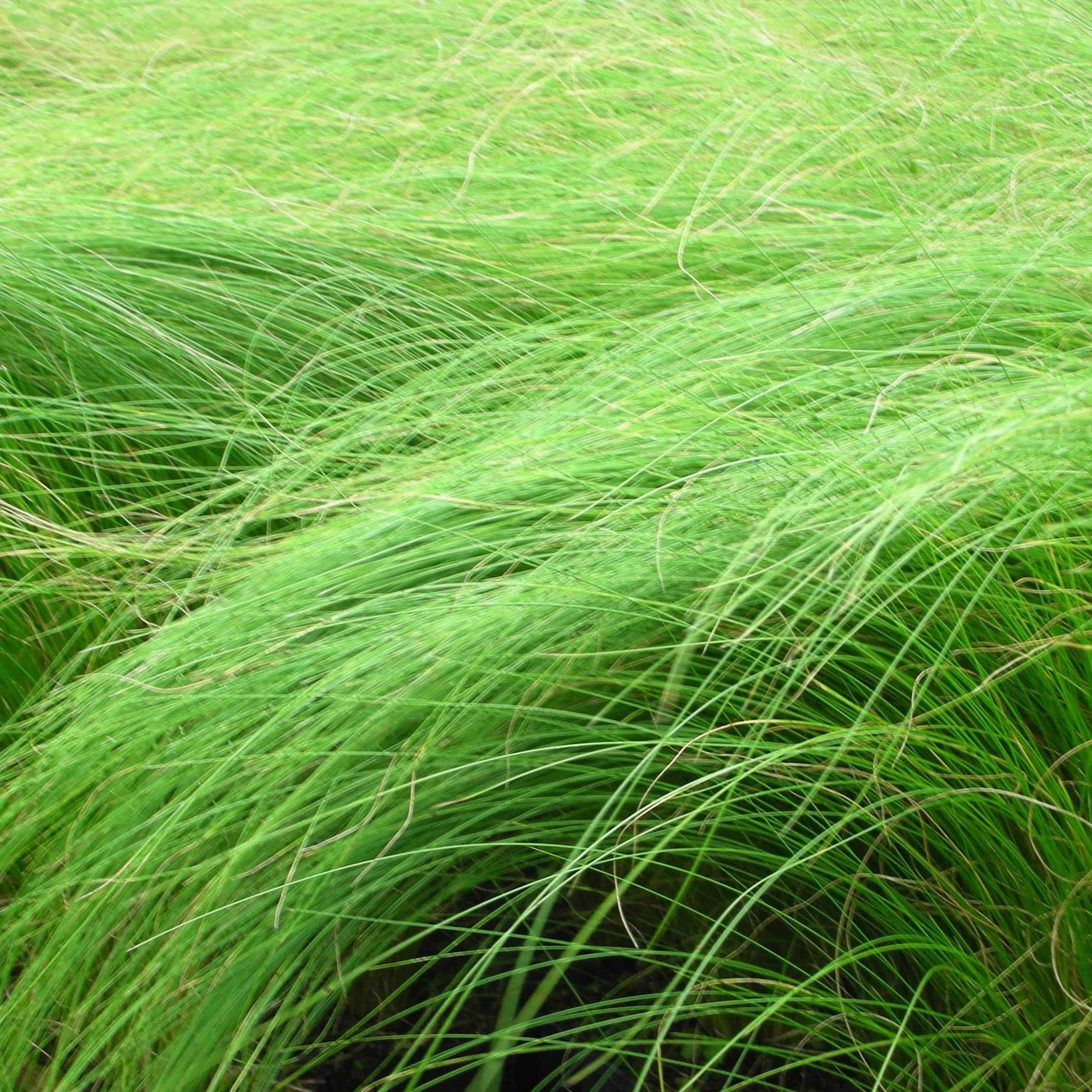 Stipa tenuissima - Zartes Federgras