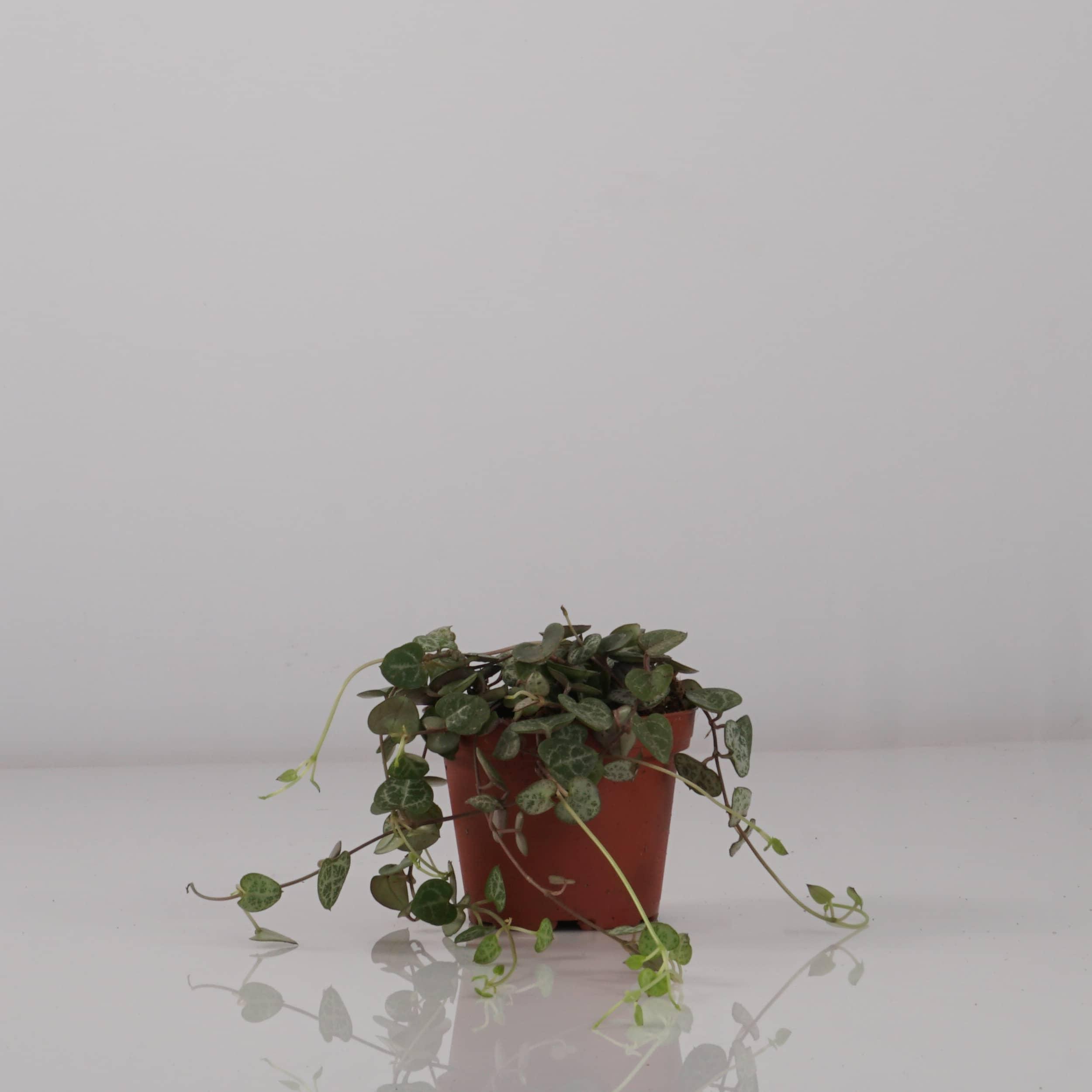 Ceropegia woodii - Leuchterblume