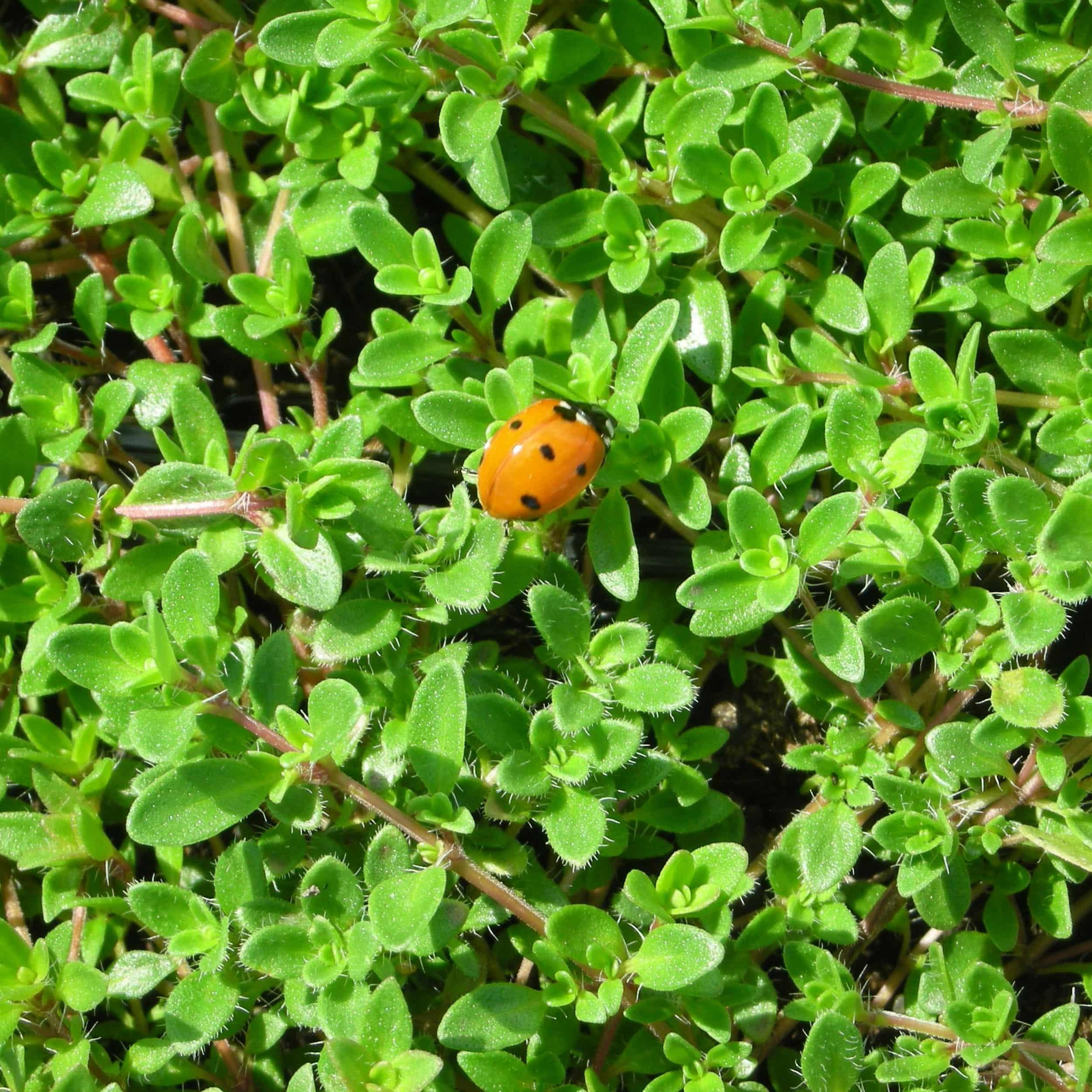 Thymus serpyllum 'Magic Carpet' - Feldthymian
