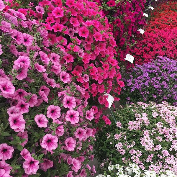 blumixx_magazin_balkonpflanzen