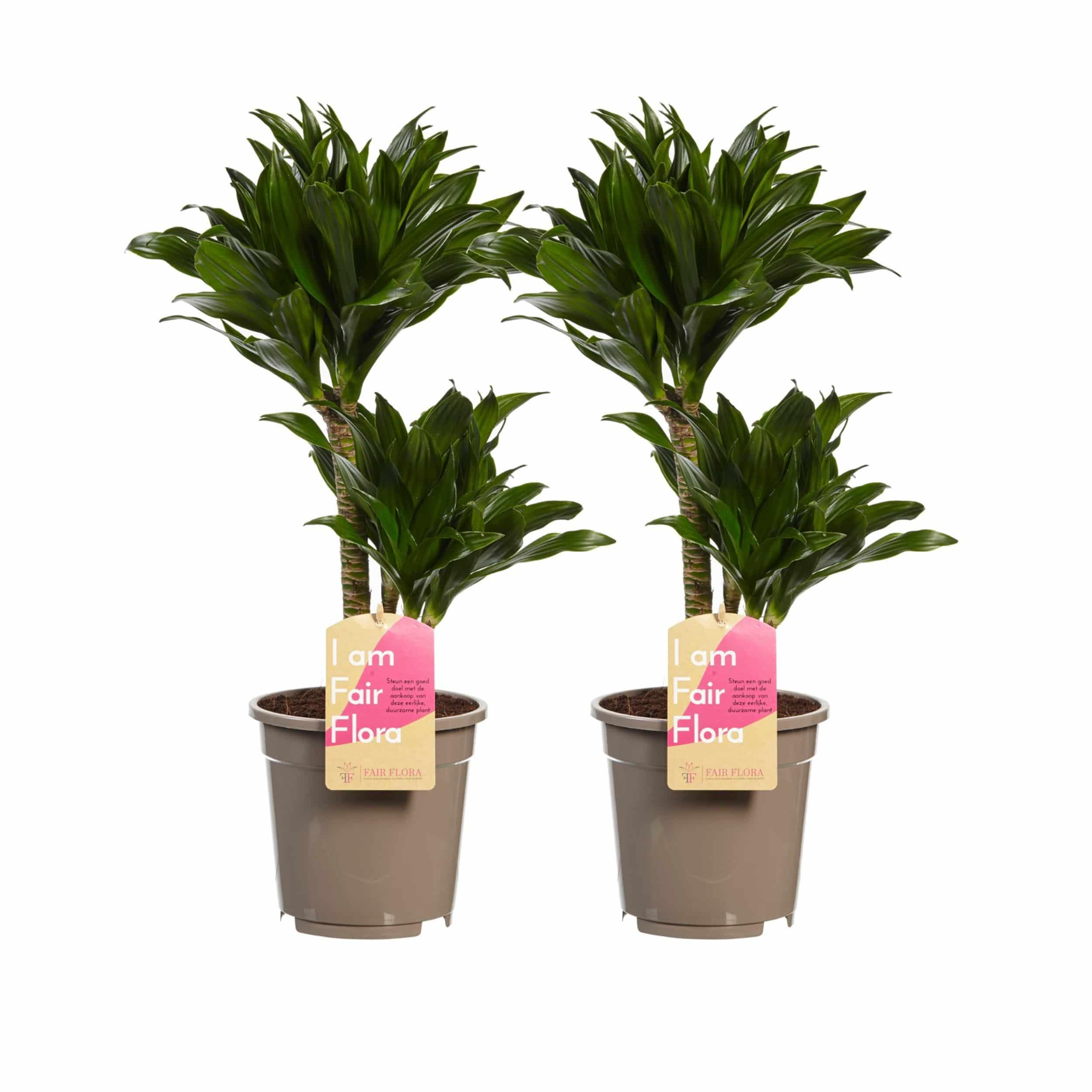 2er-Set Dracaena fragrans 'Compacta' - Drachenbaum