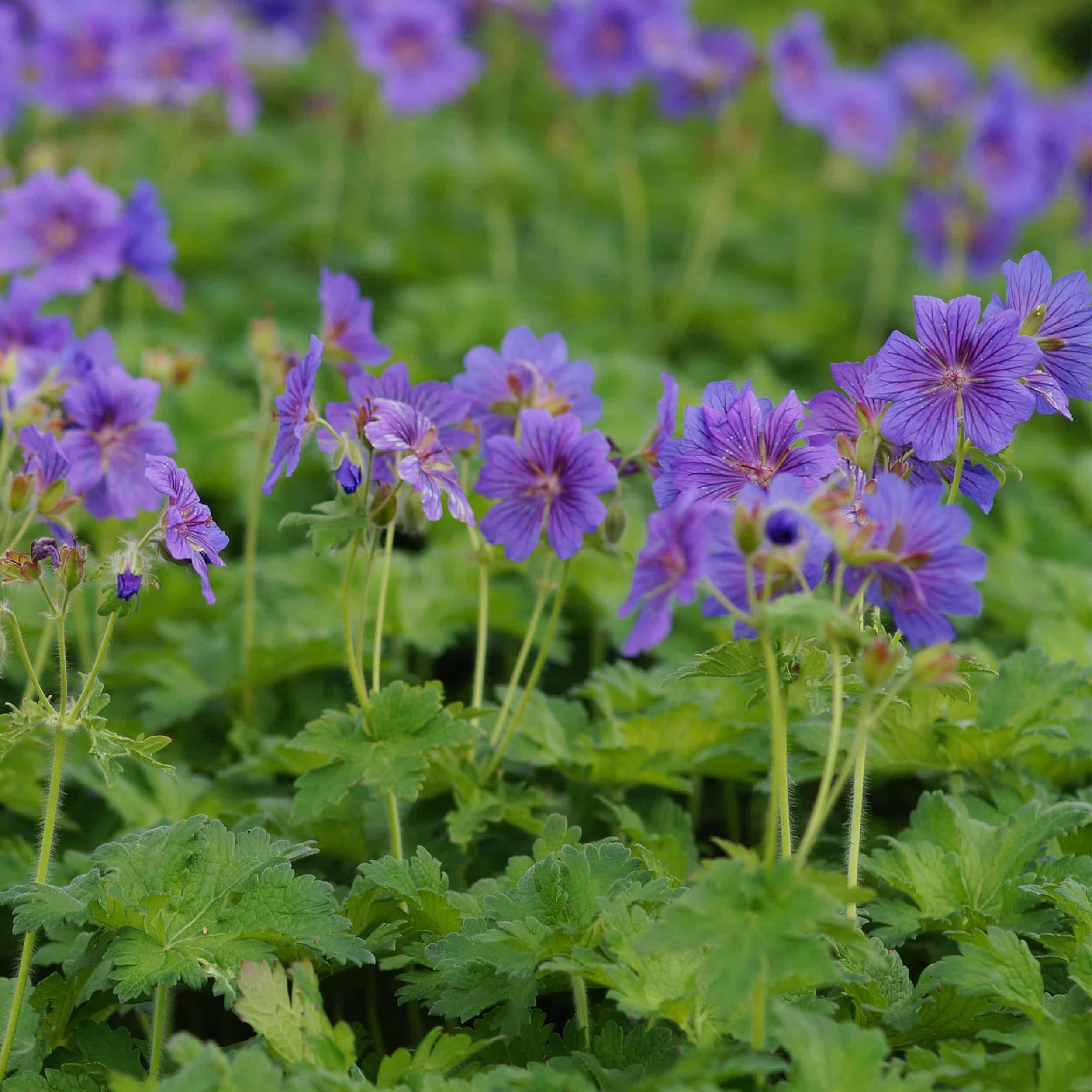 Geranium magnificum 'Rosemoor' - Pracht-Storchschnabel
