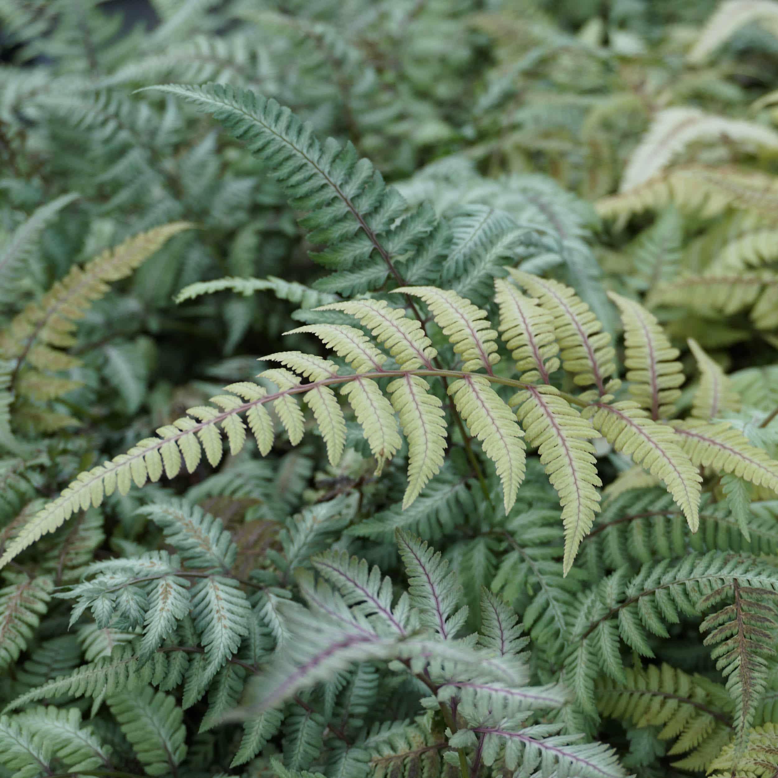 Athyrium niponicum 'Silver Falls' - Japanischer Regenbogenfarn