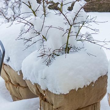 blumixx-magazin-winterschutz-kuebelpflanzen-360