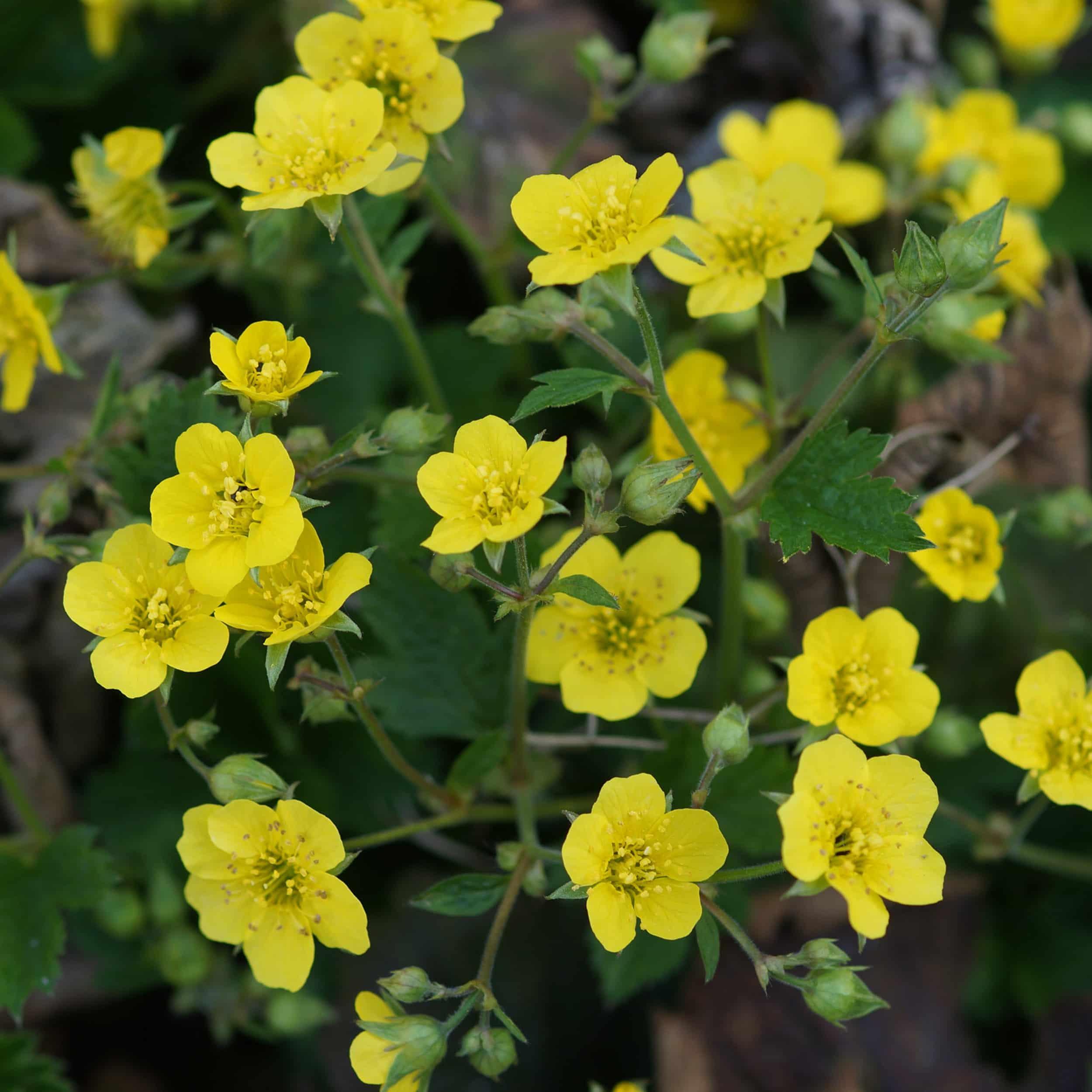 Waldsteinia geoides - Horstige Ungarwurz