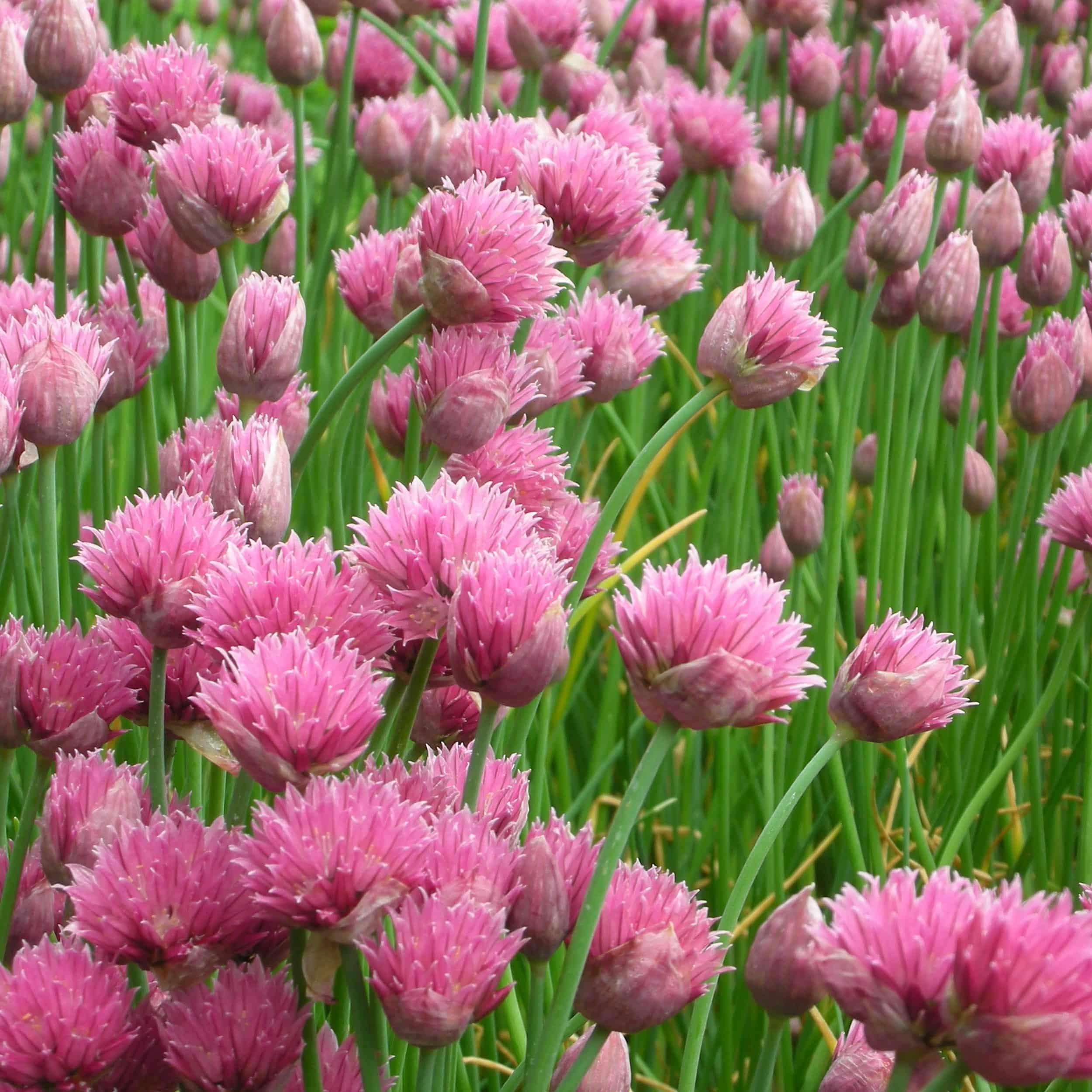 Allium schoenoprasum 'Forescate' - Zier- und Gewürzschnittlauch