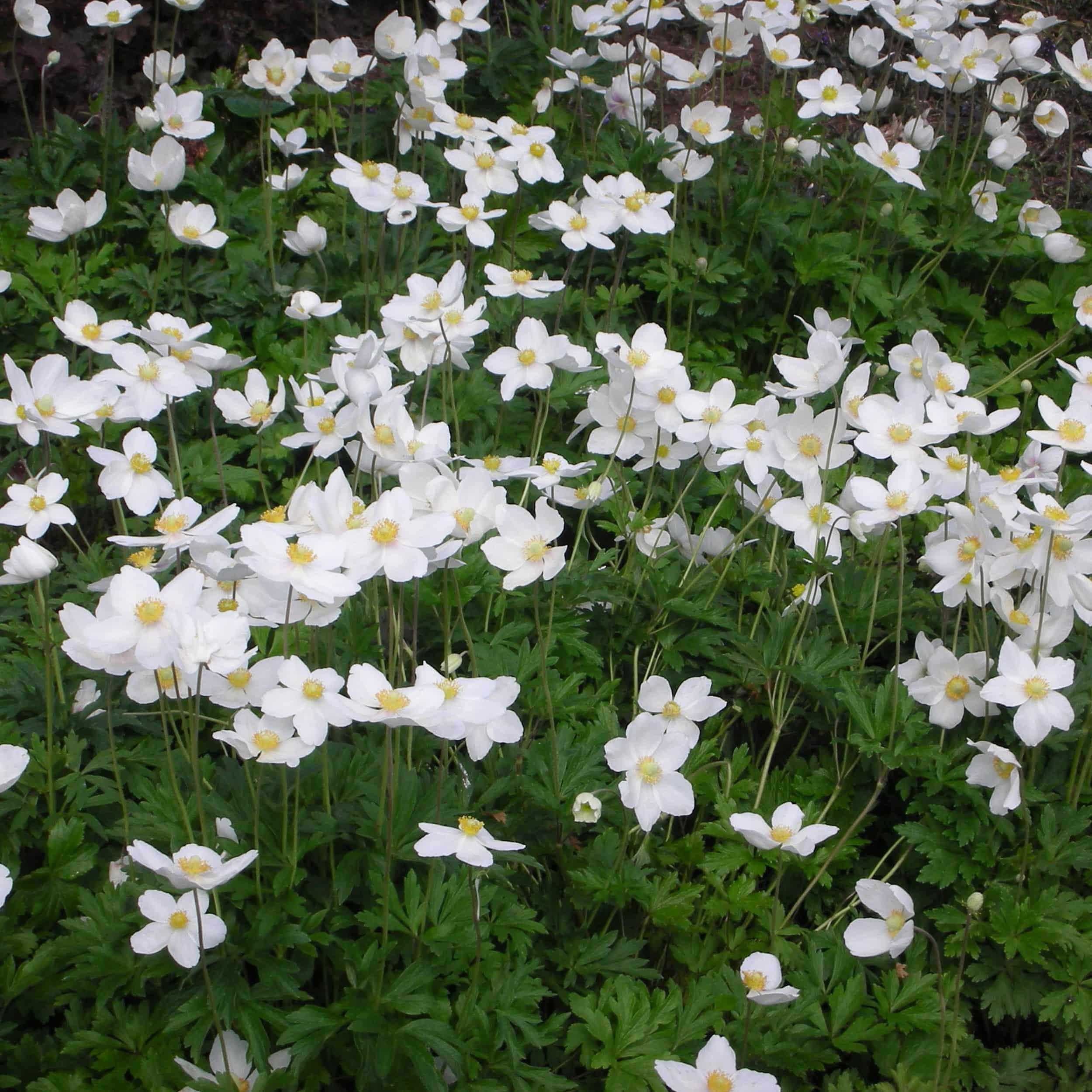 Anemone sylvestris - Waldanemone