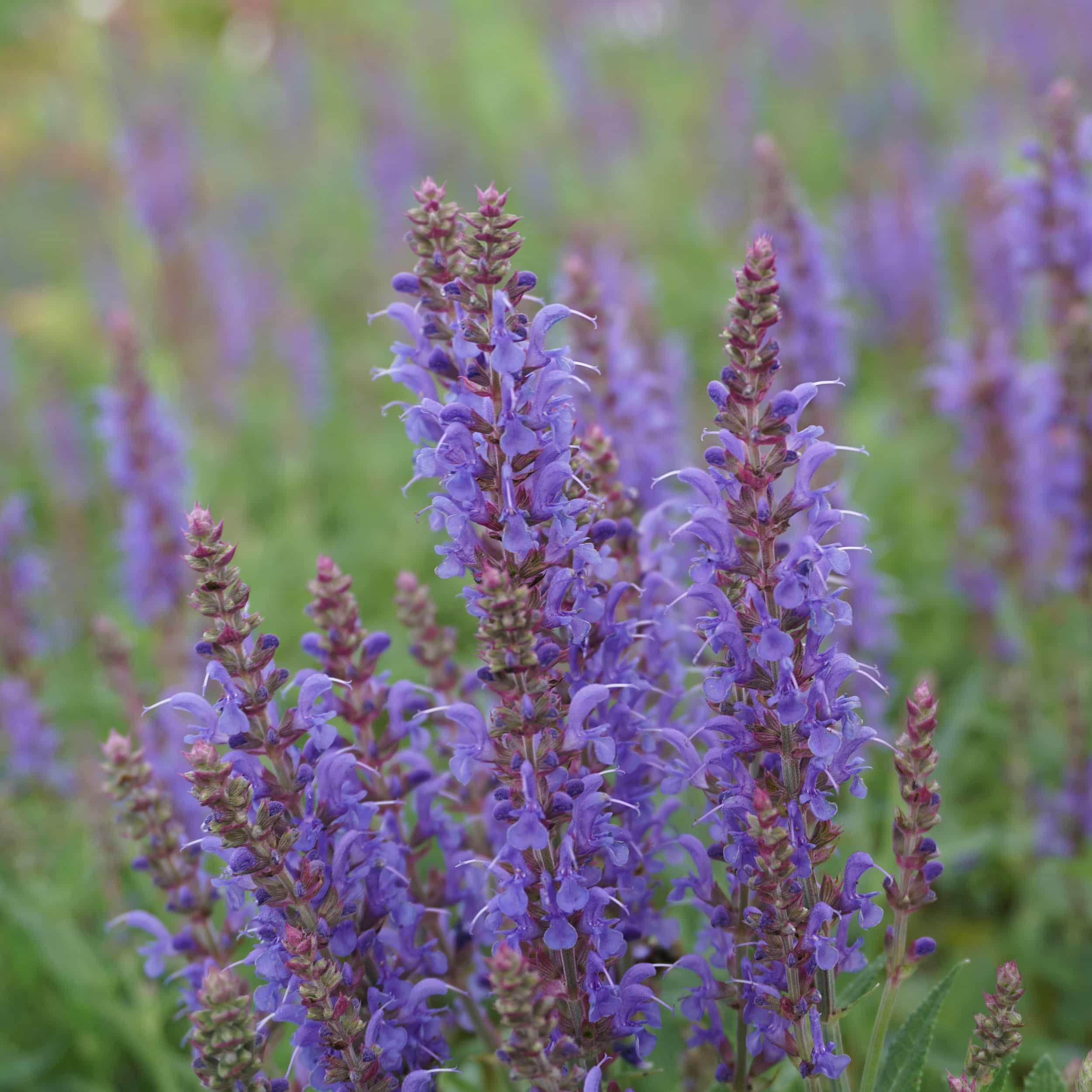 Salvia nemorosa 'Blauhügel' - Sommer-Gartensalbei
