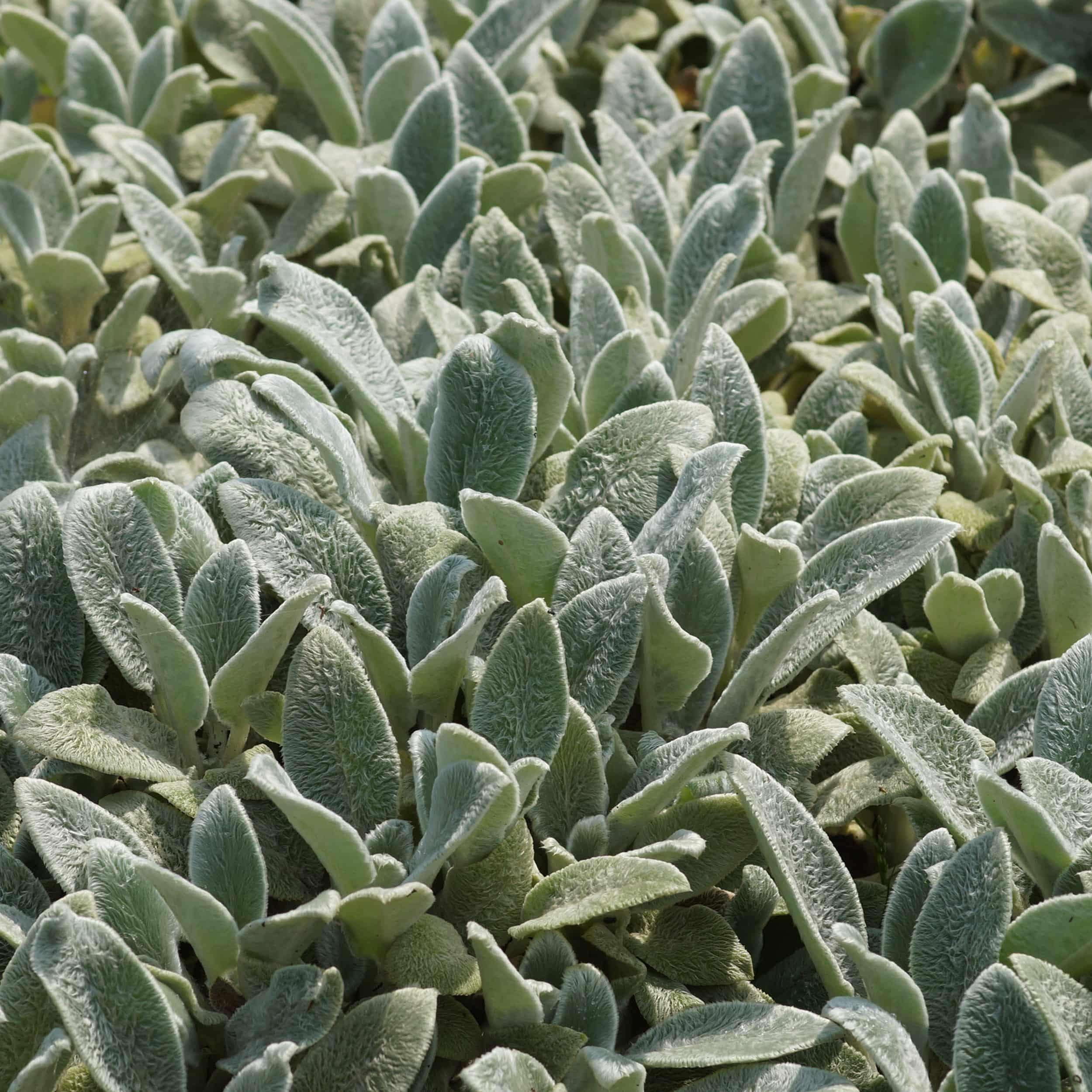 Stachys byzantina 'Silver Carpet - Teppich-Wollziest