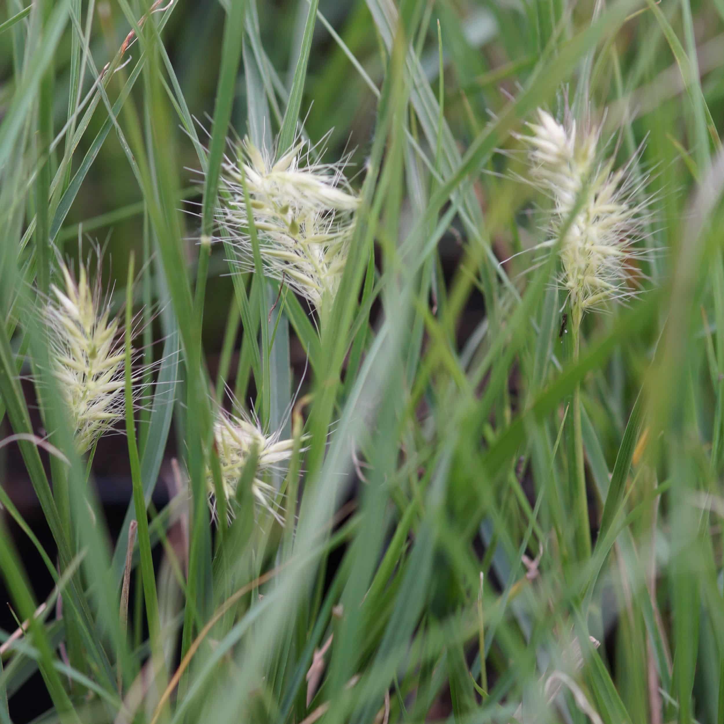 Pennisetum alopecroides 'Little Bunny' - Lampenputzergras