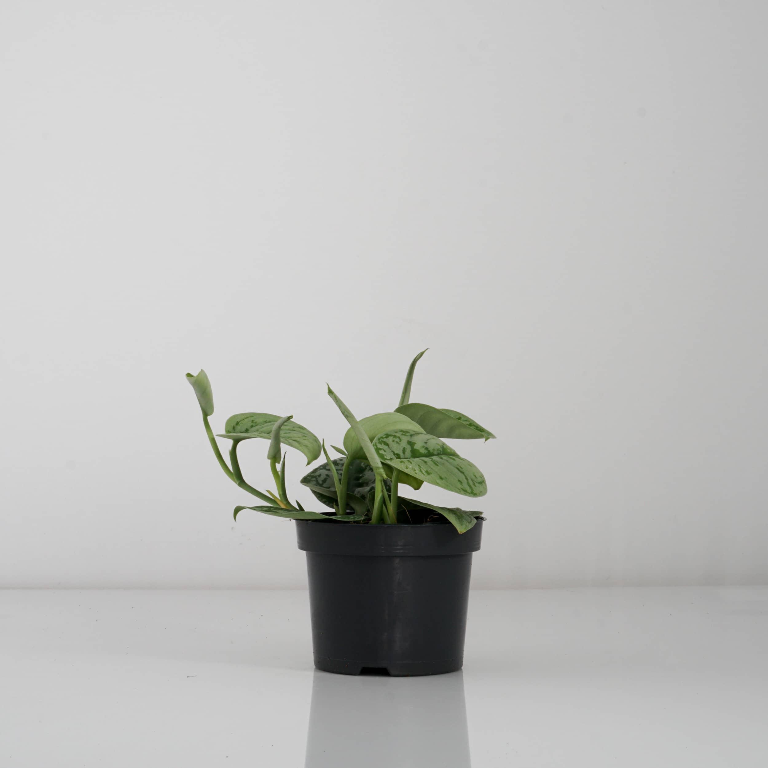 Scindapsus pictus 'Trebie' - Gefleckte Efeutute