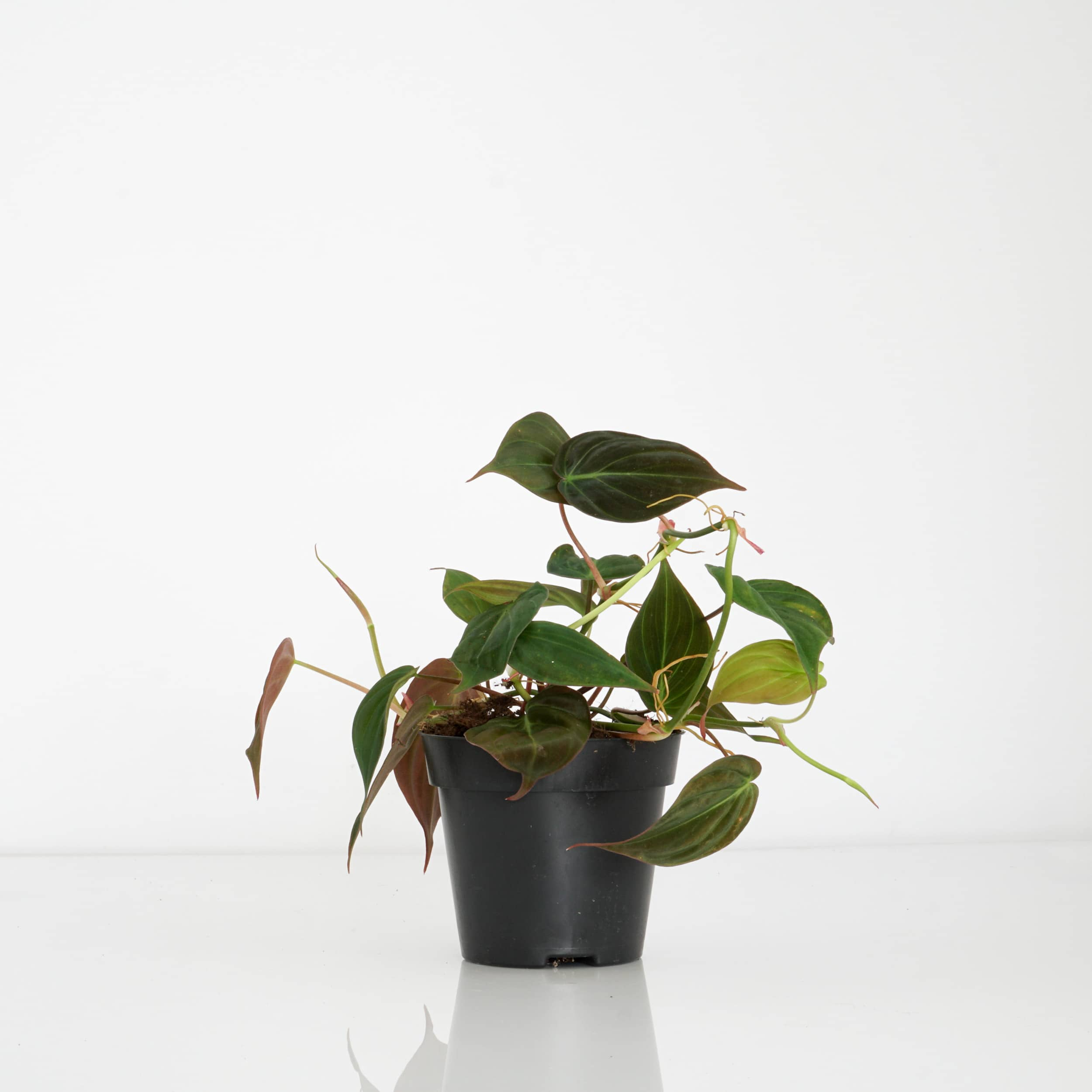 Philodendron scandens subsp. micans - Kletterphilodendron