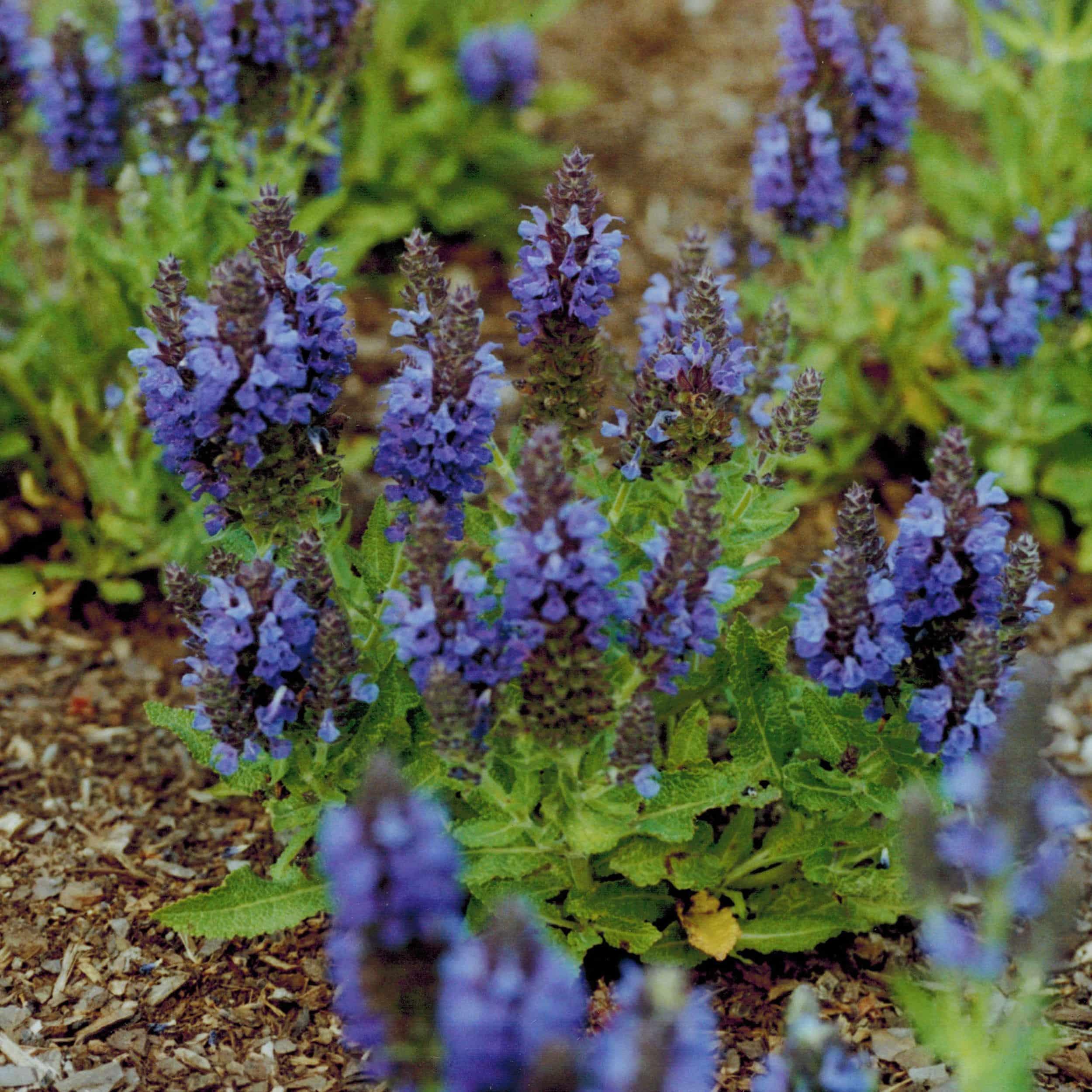 Salvia nemorosa 'Marcus' ® - Sommer-Gartensalbei