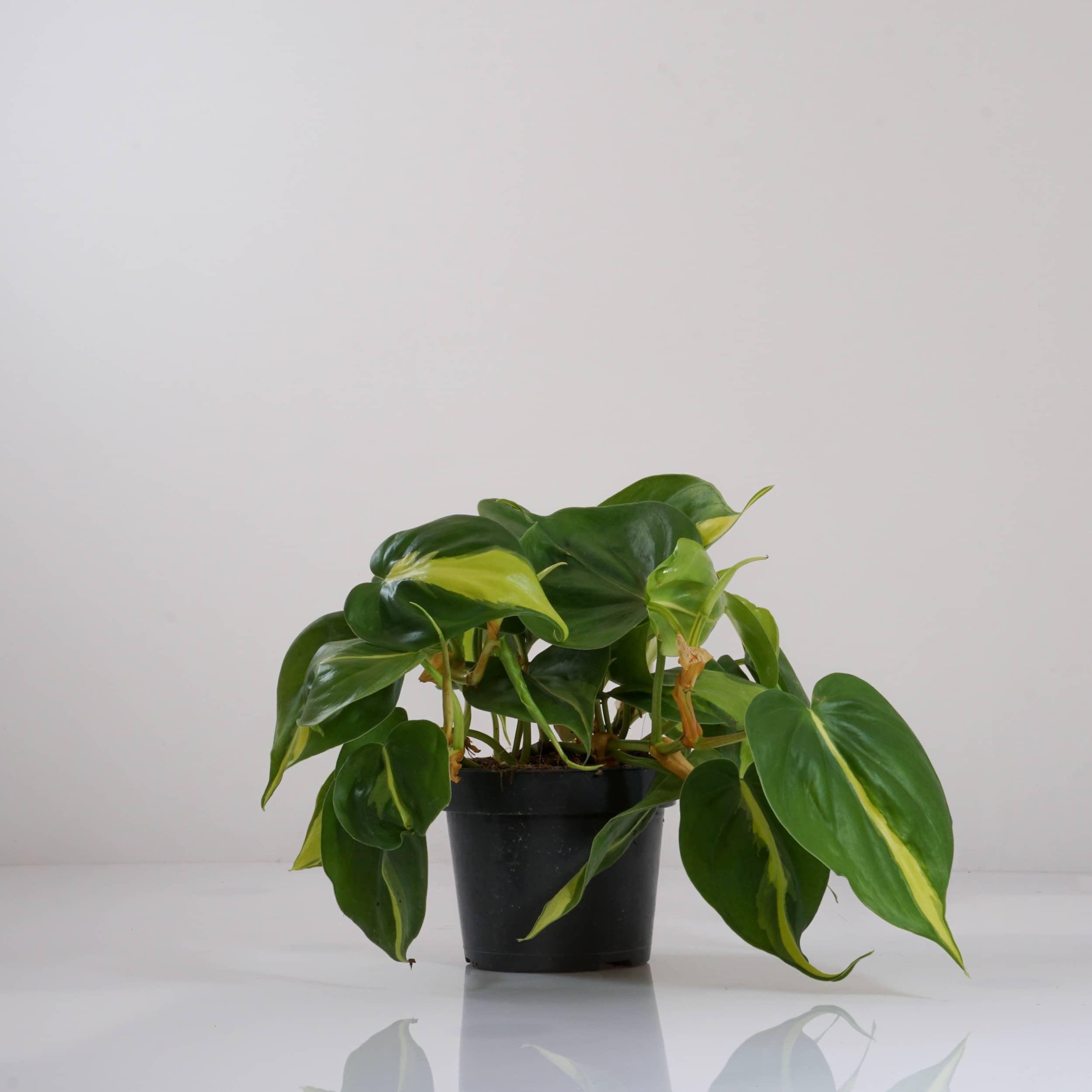 Philodendron scandens 'Brasil' - Kletterphilodendron