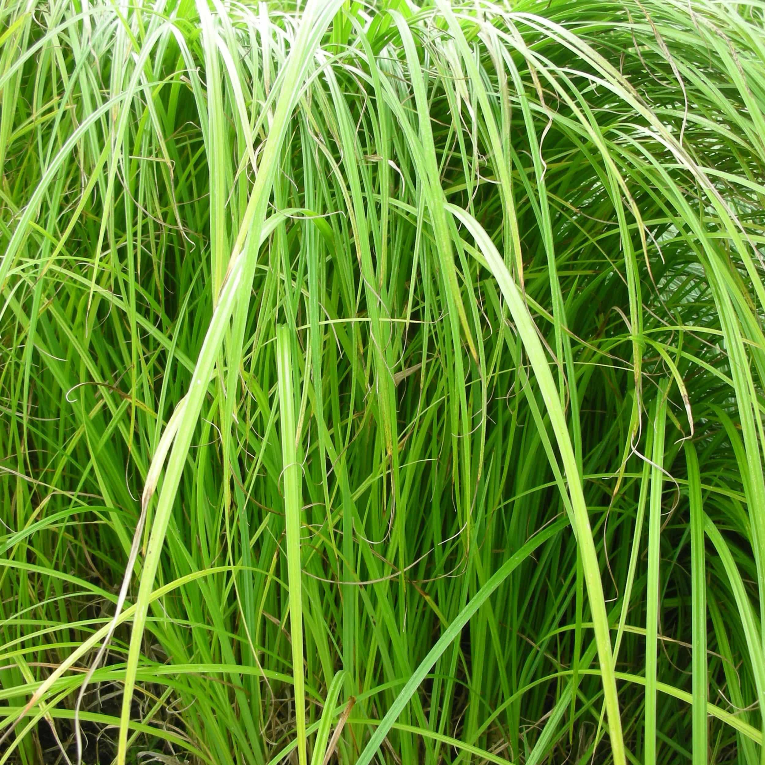 Carex acutiformis - Scharfkantige Segge