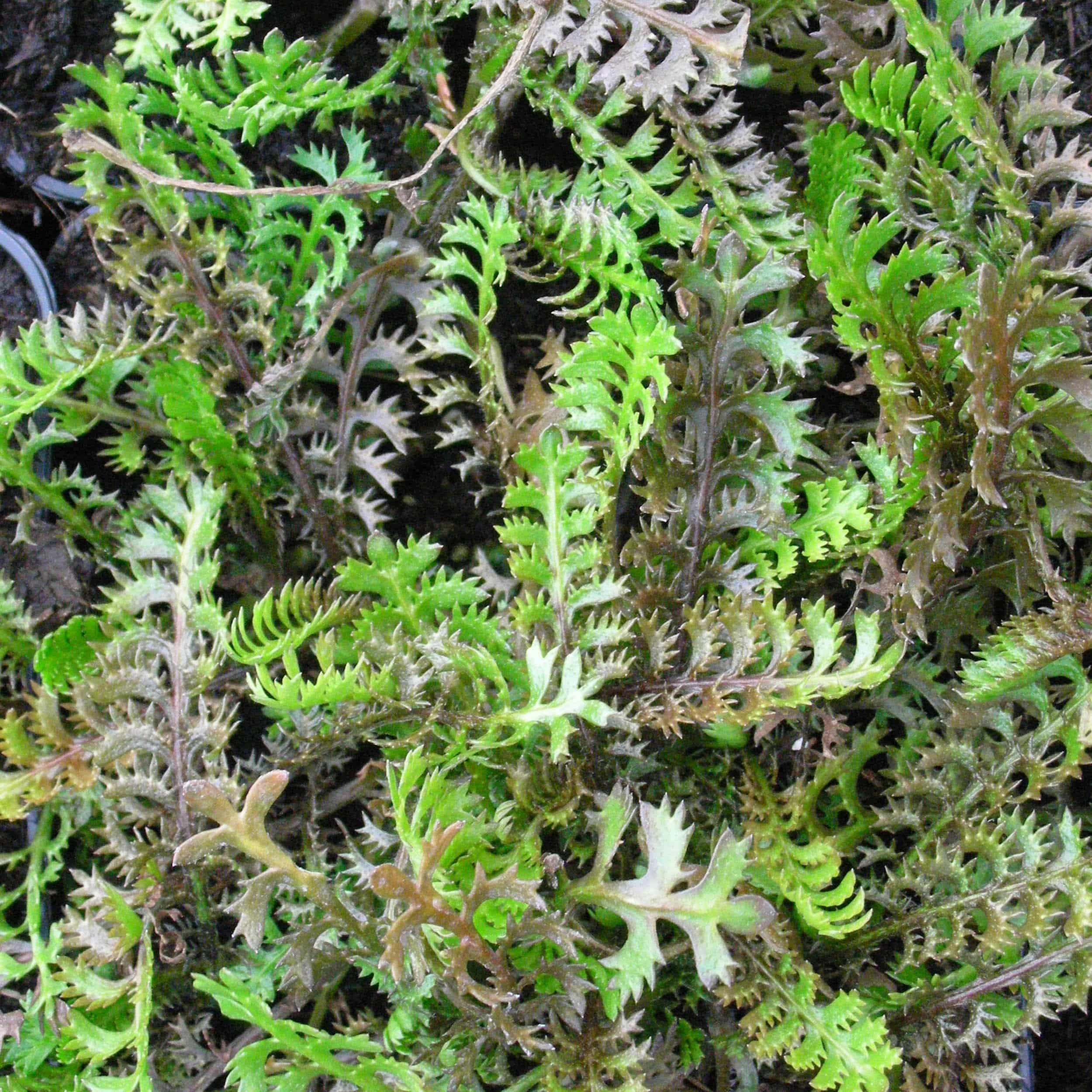 Leptinella squalida - Braunes Fiederpolster