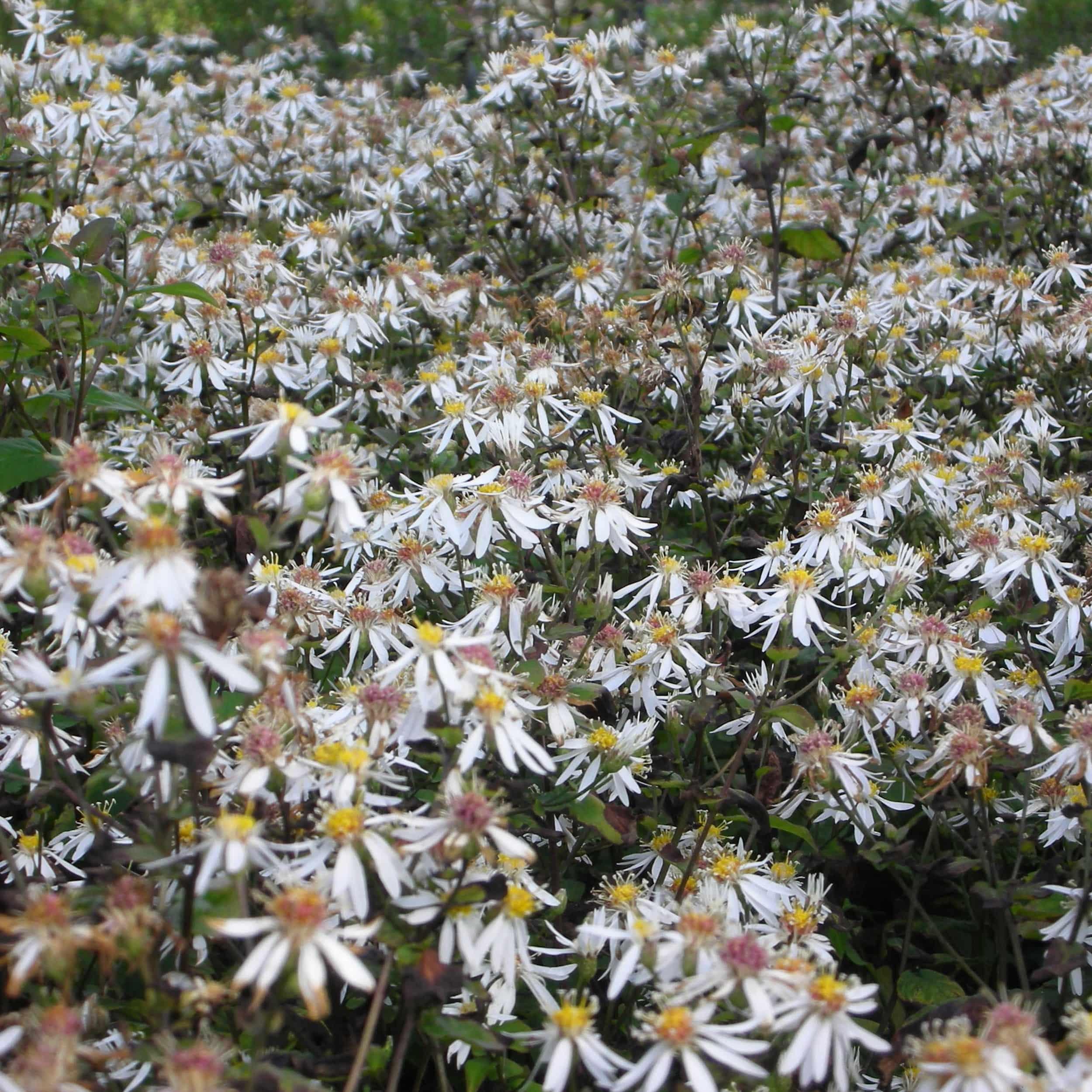 Aster divaricatus 'Tradescant' - Herbstaster
