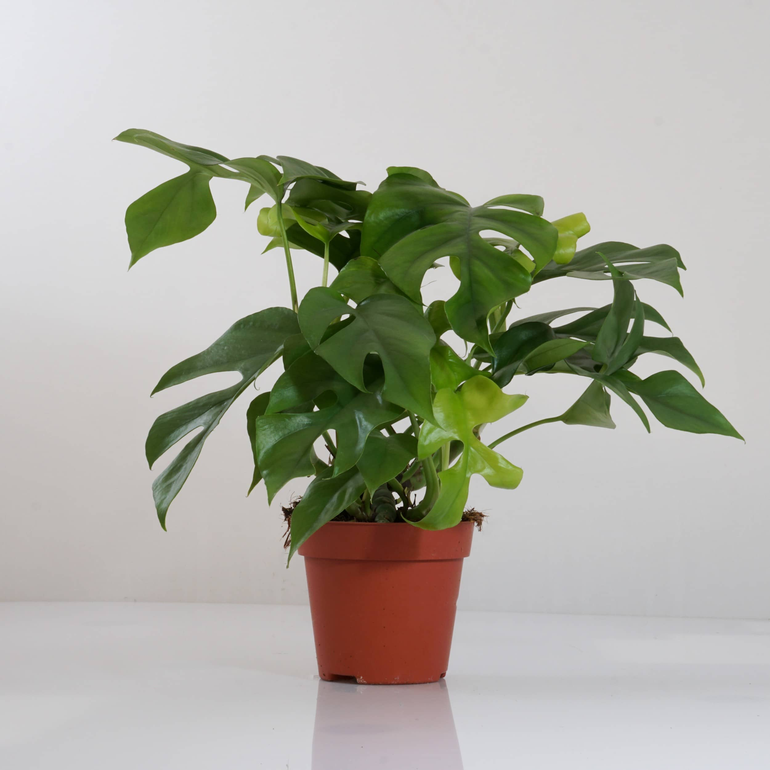 Monstera minima - Kleines Fensterblatt