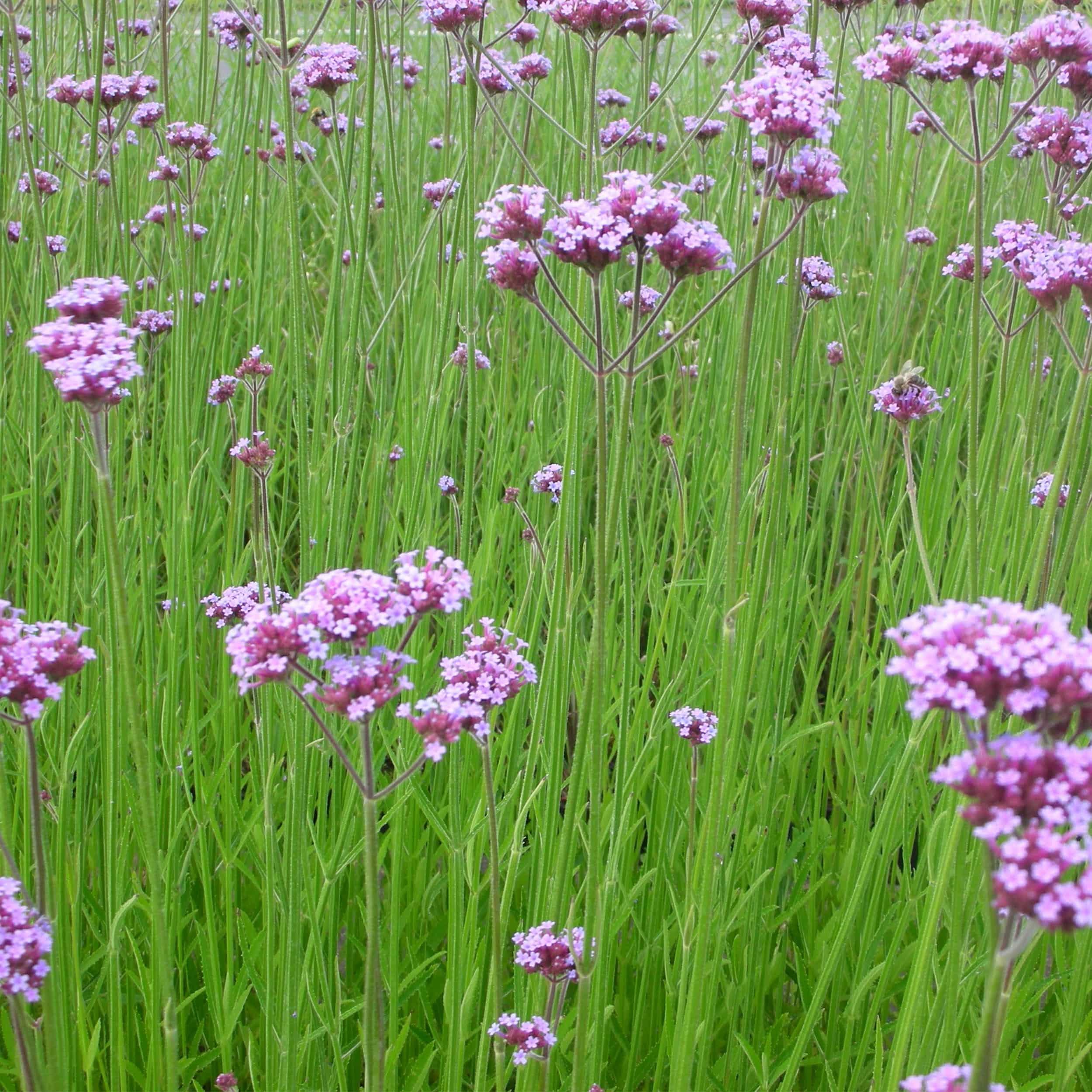 Verbena bonariensis - Verbene